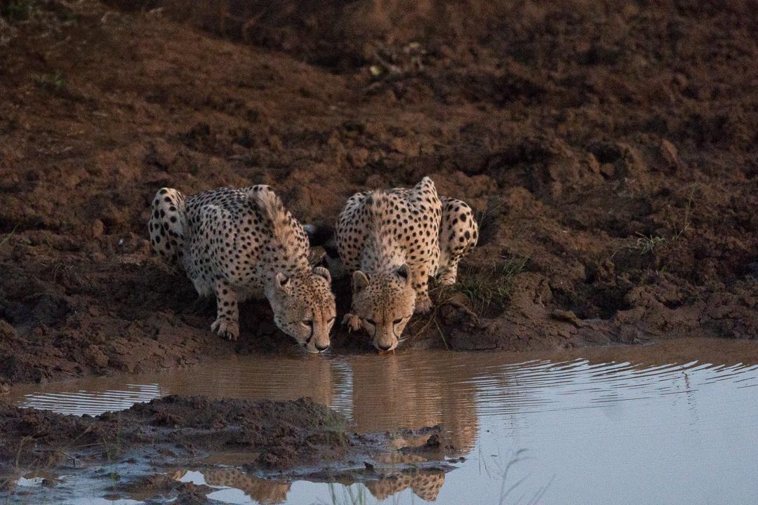 Travel Safari Africa Cheetah.jpg