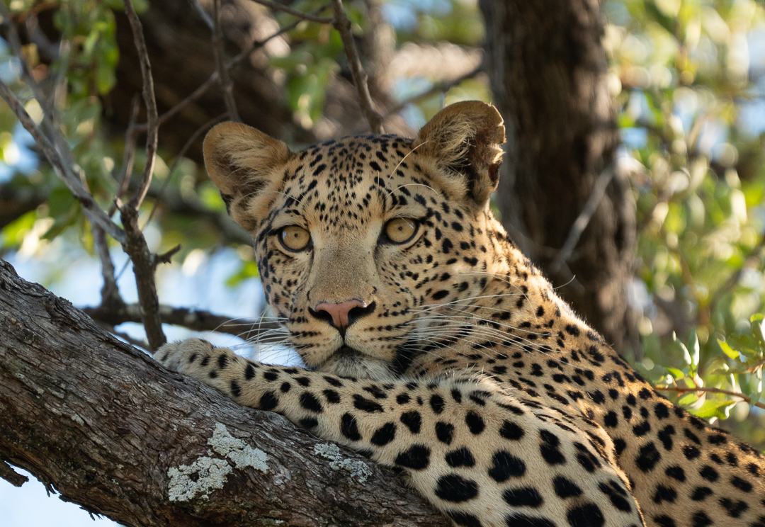 Travel Africa Leopard.jpg