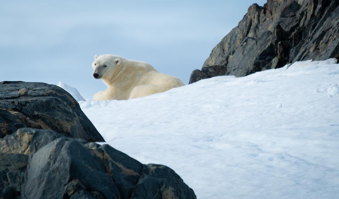 Travel Arctic Polar Bear.jpg