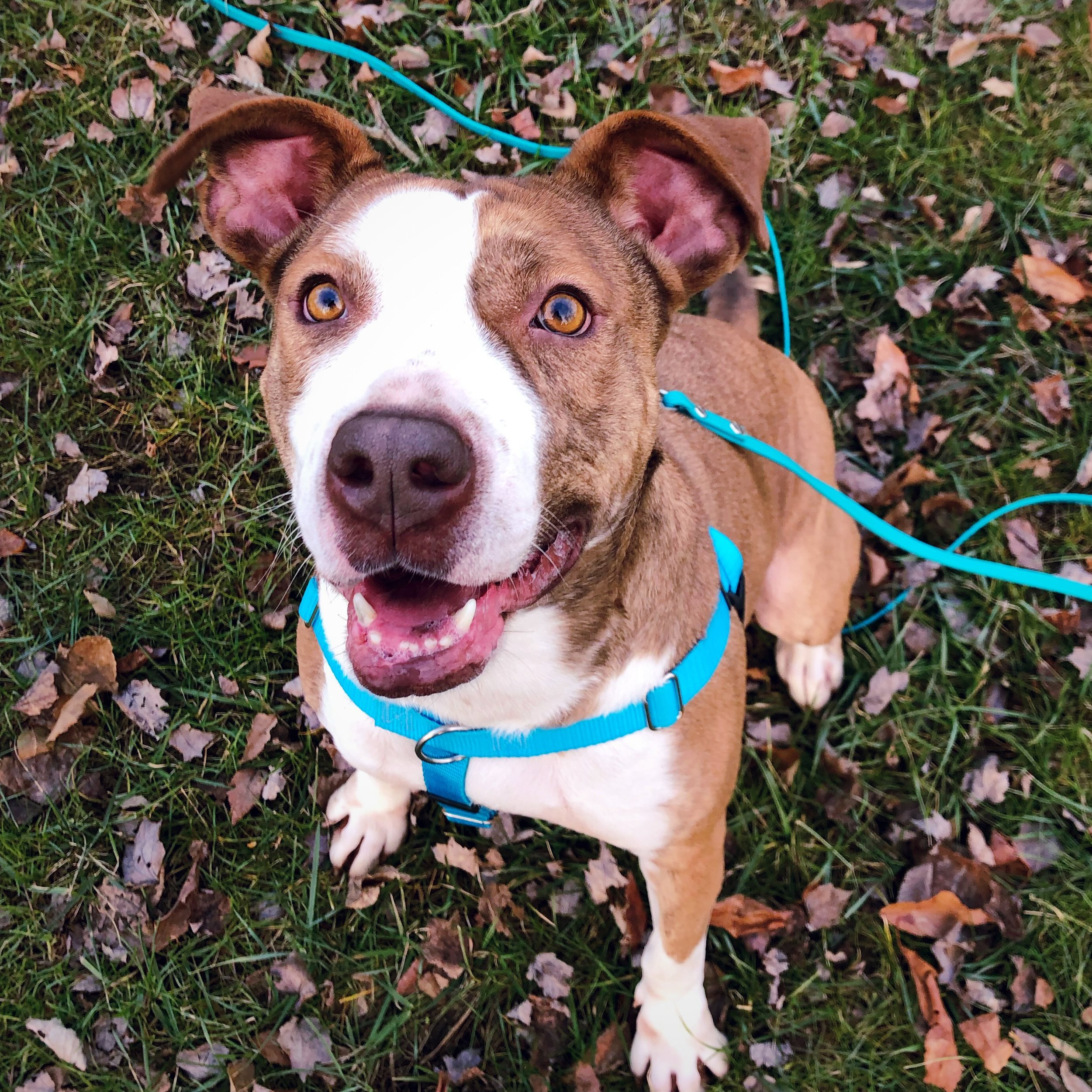 Grayson is an Adoptable Abider available through Mostly Muttz Rescue. -