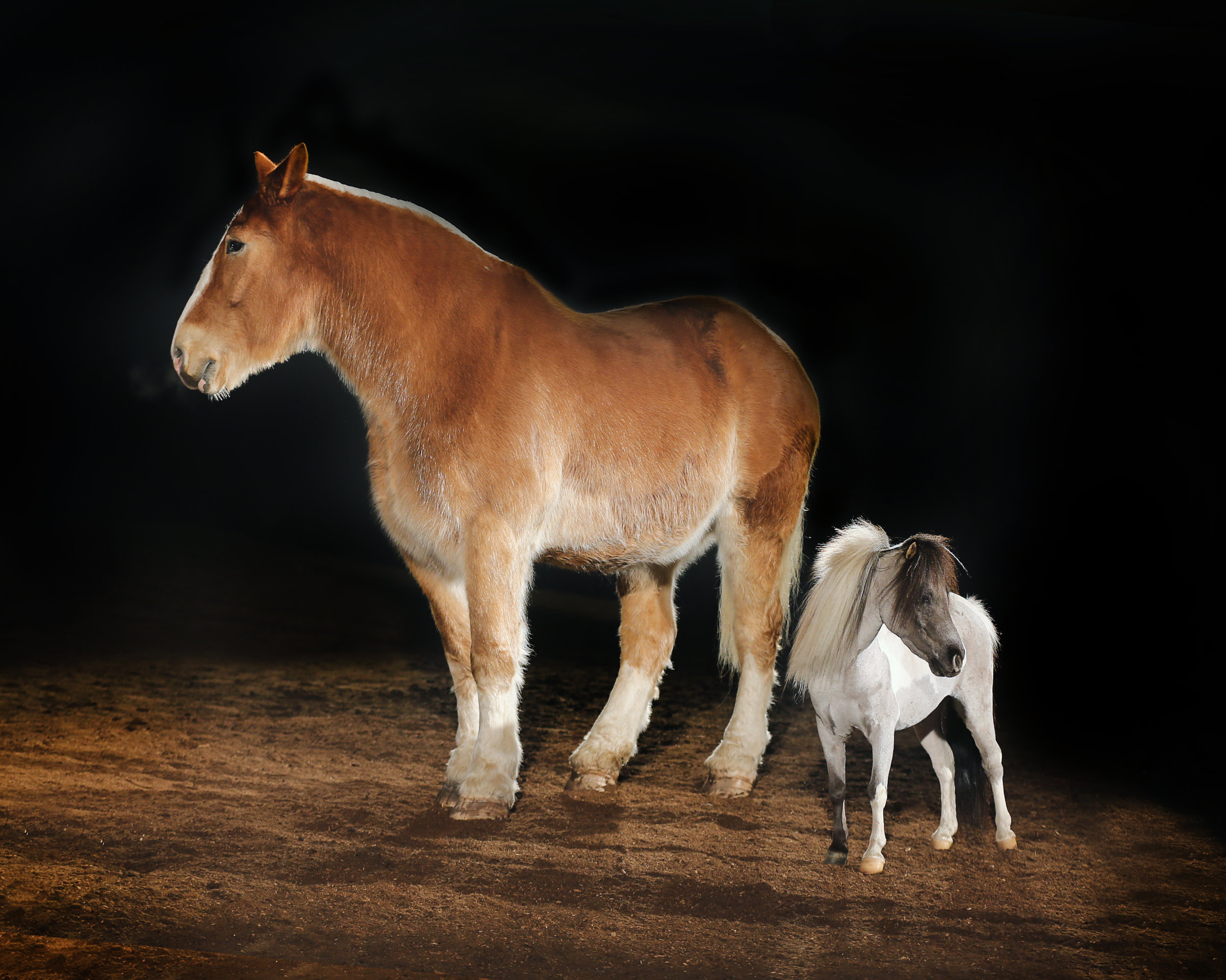 Belgian Draft Horse and Miniature Shetland Pony.jpg