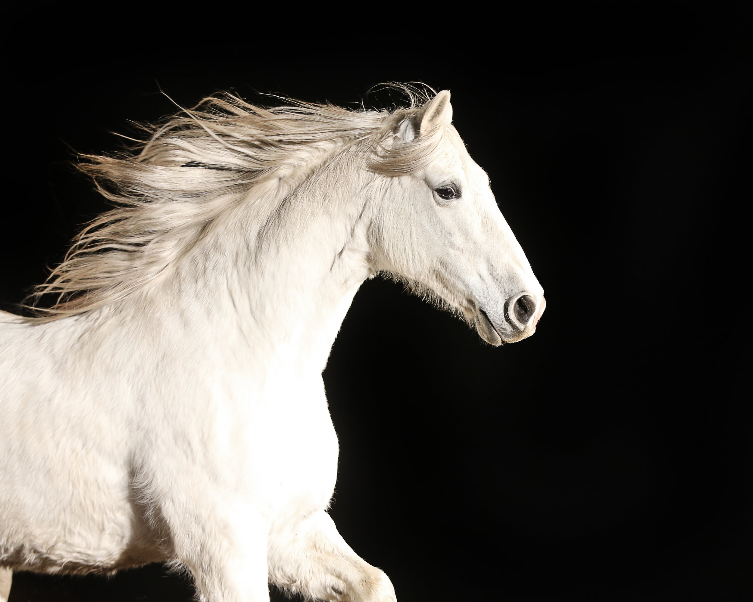 White Andalusian.jpg