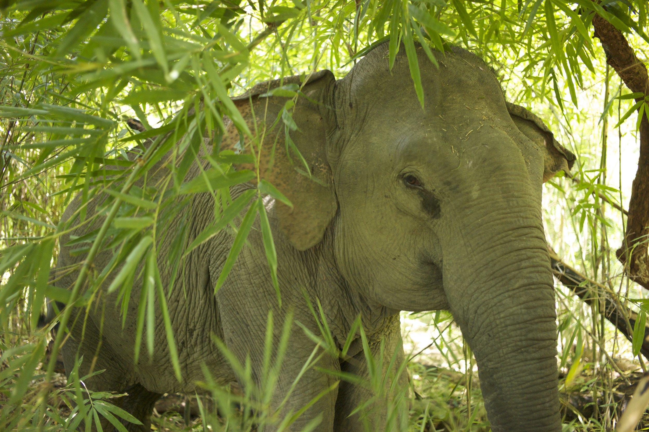 LDHE - elephant en foret - photoArnaudBouquet.jpg