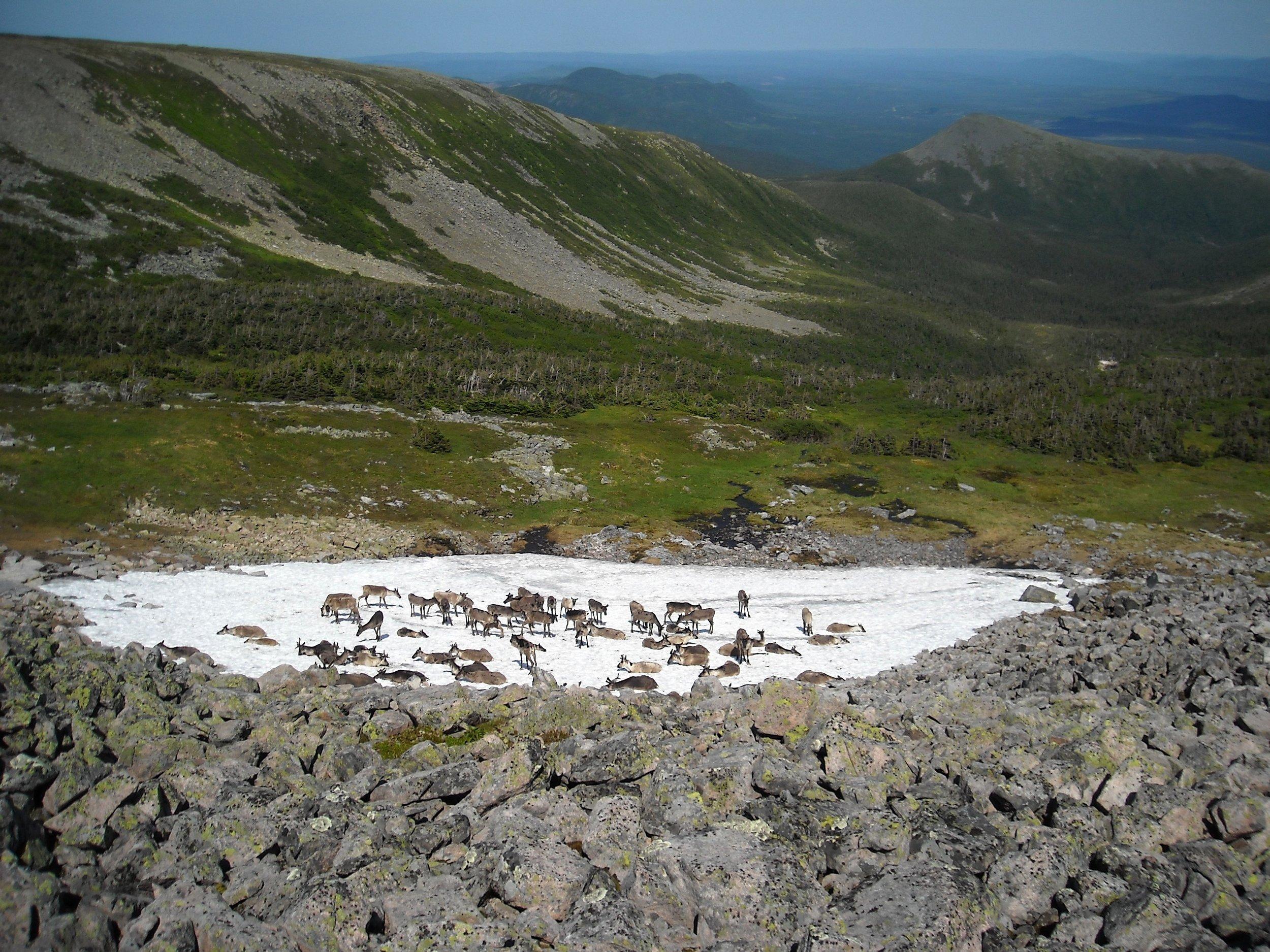 Caribou mont J-C 2009-07-23 Denis Desjardins 2528.1.jpg