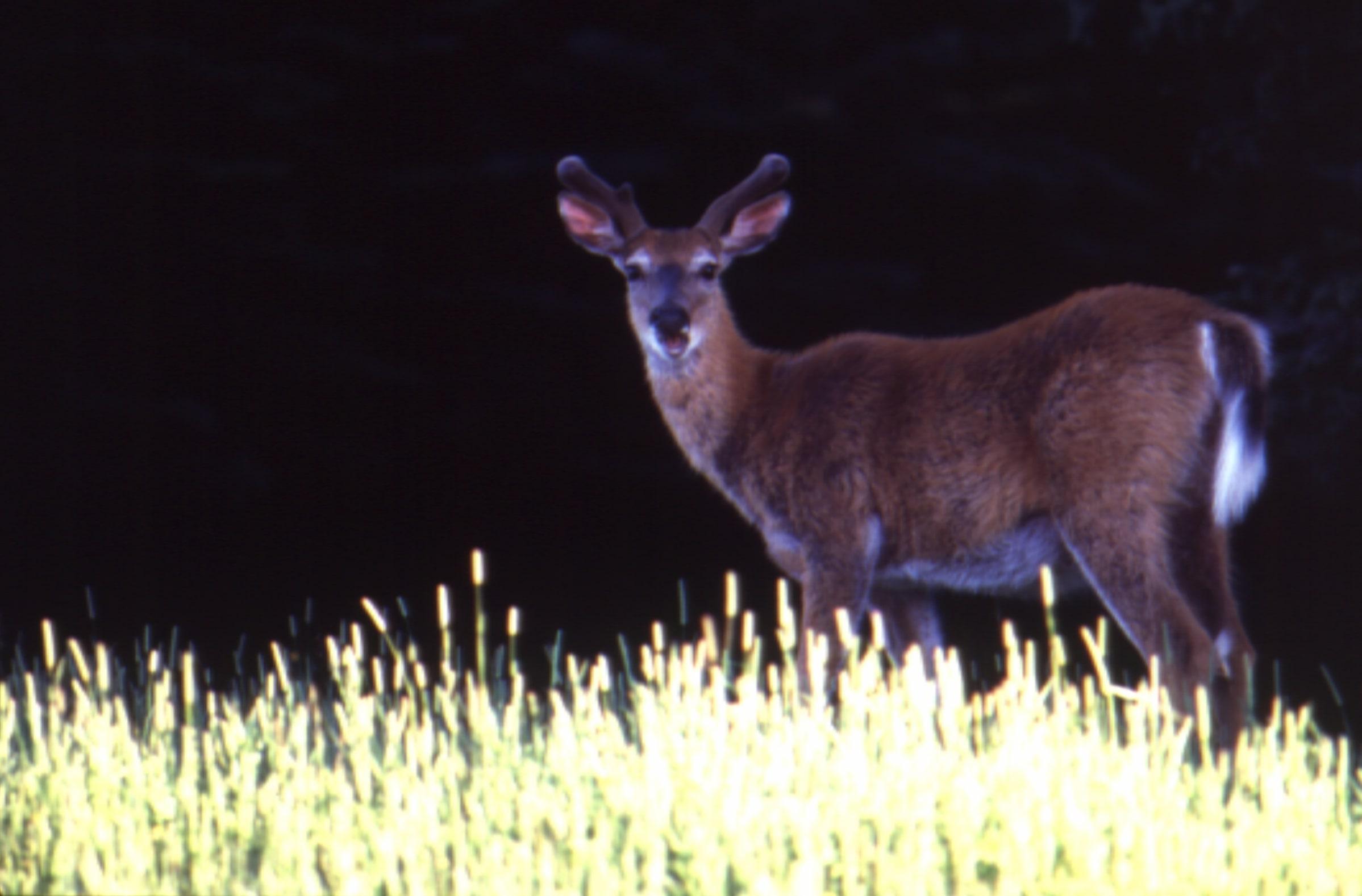 anticosti deer.jpg