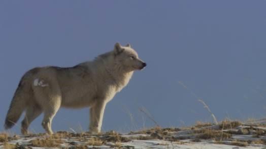 White Wolf2.jpg