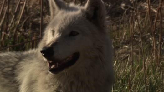 White Wolf3.jpg