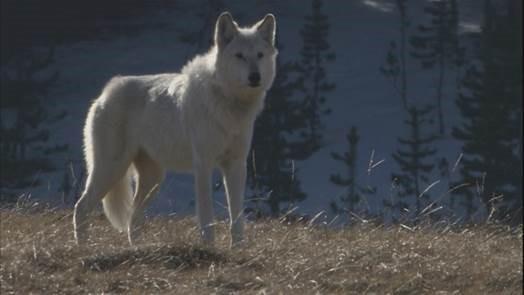 White Wolf4.jpg