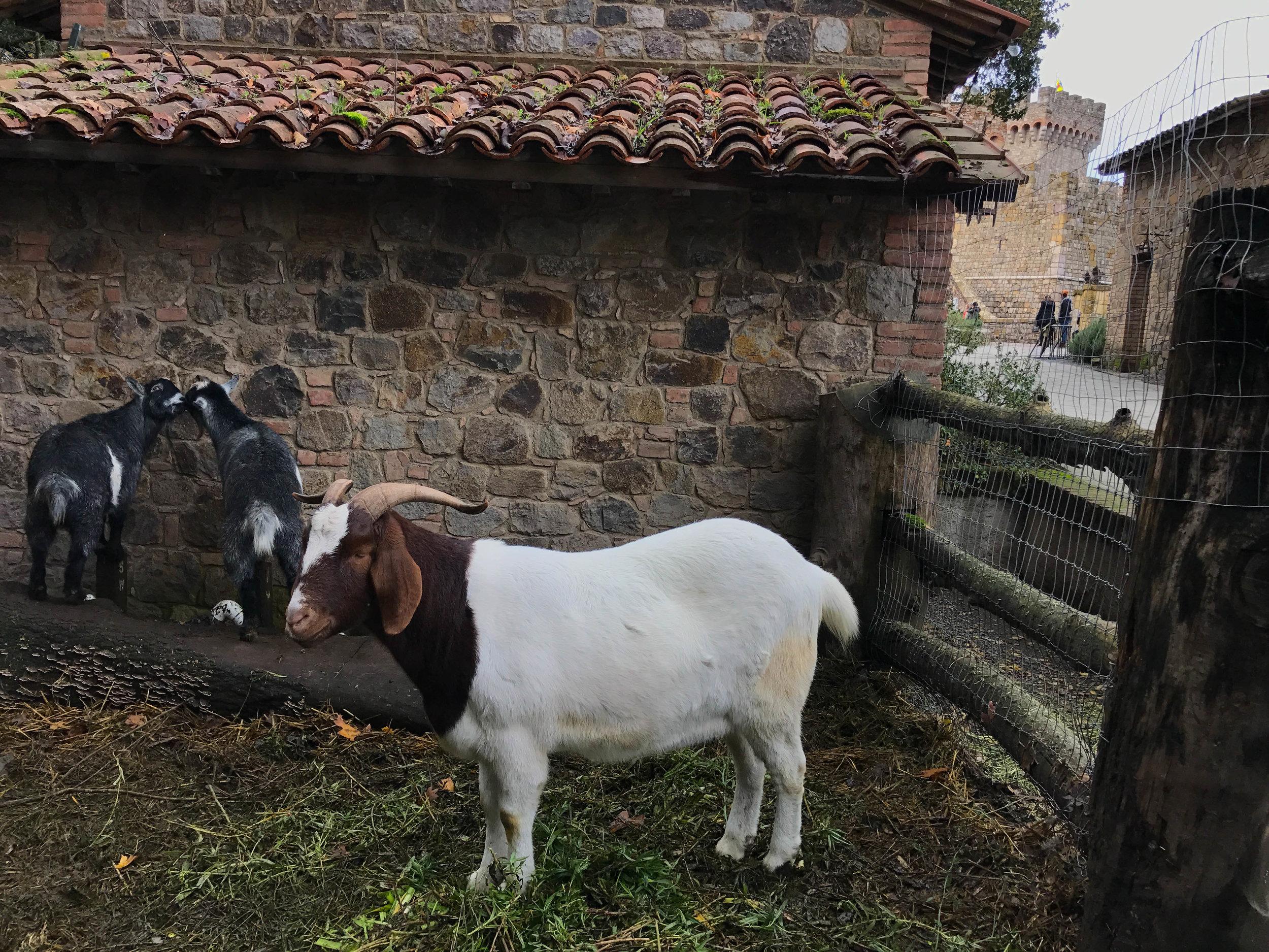 Castello Di Amorosa goats