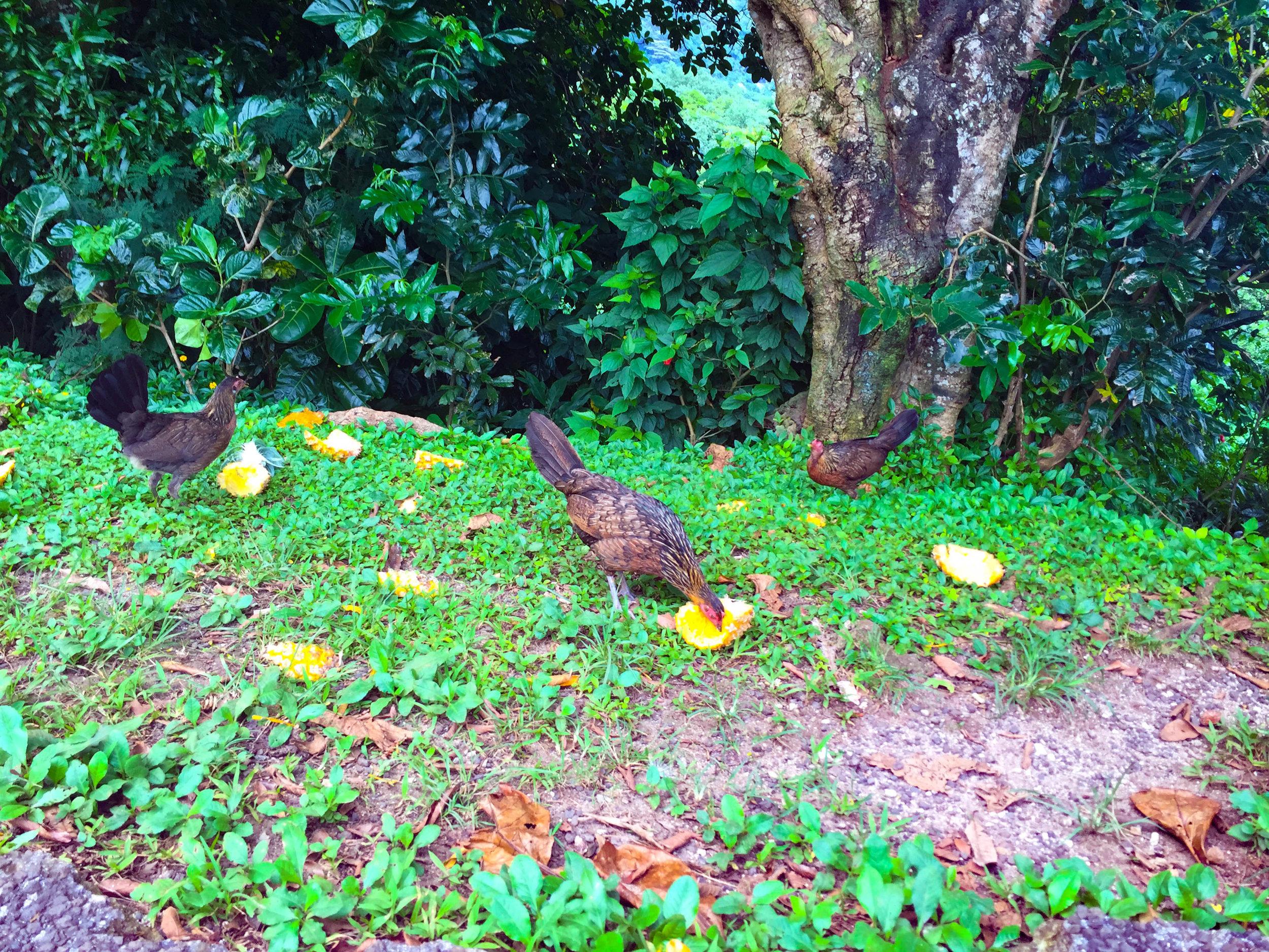 Belvedere views in Moorea - chickens