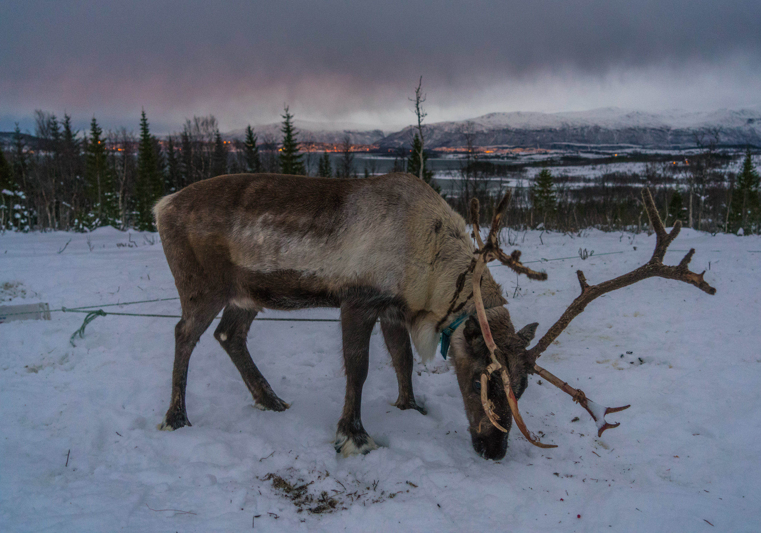 Norway_reindeer_in_the_wild.jpg