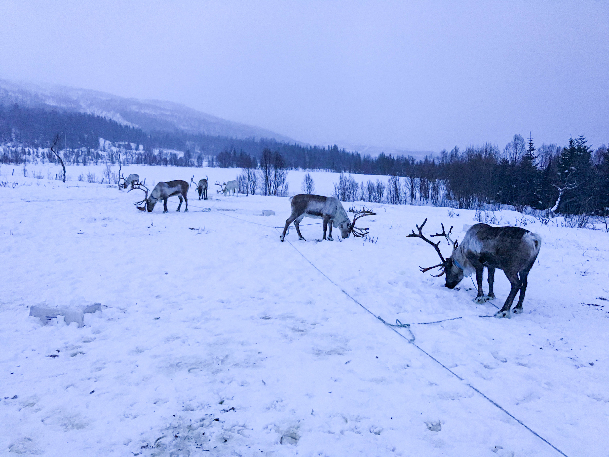 Norway Adventures-reindeer_feeding.jpg