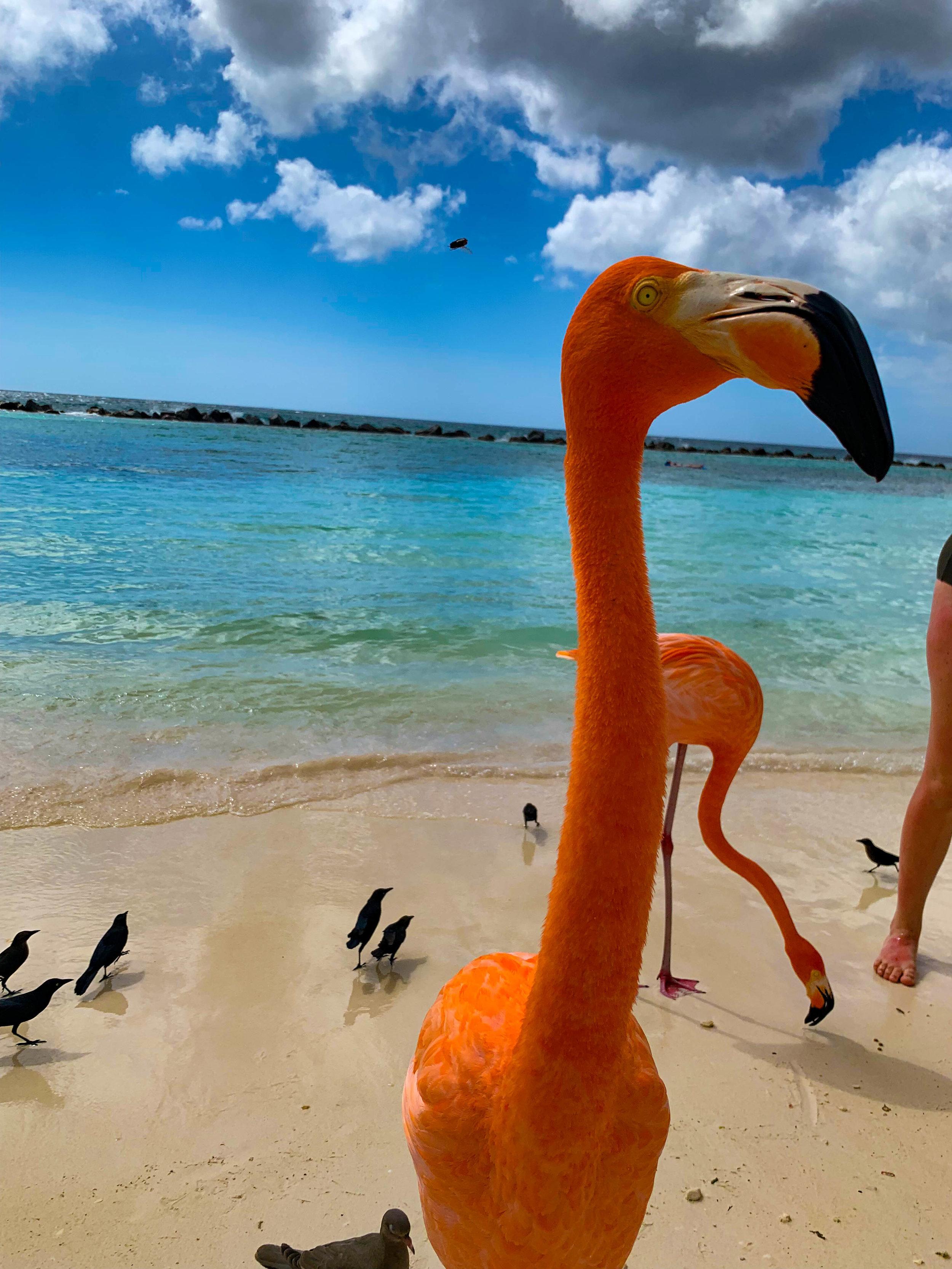 Flamingoes on Flamingo Beach Renaissance Island, Aruba