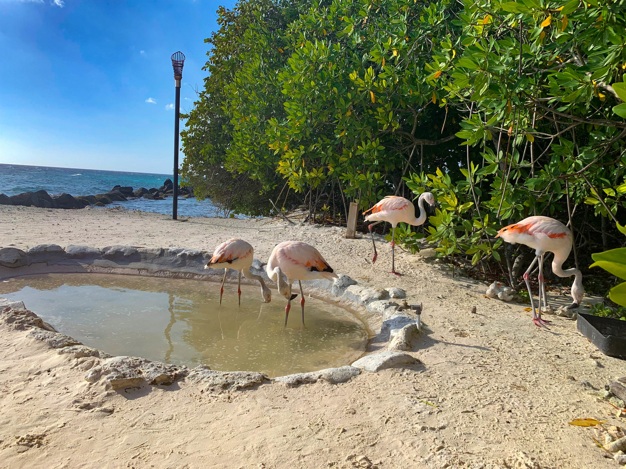 Baby Flamingos in Aruba