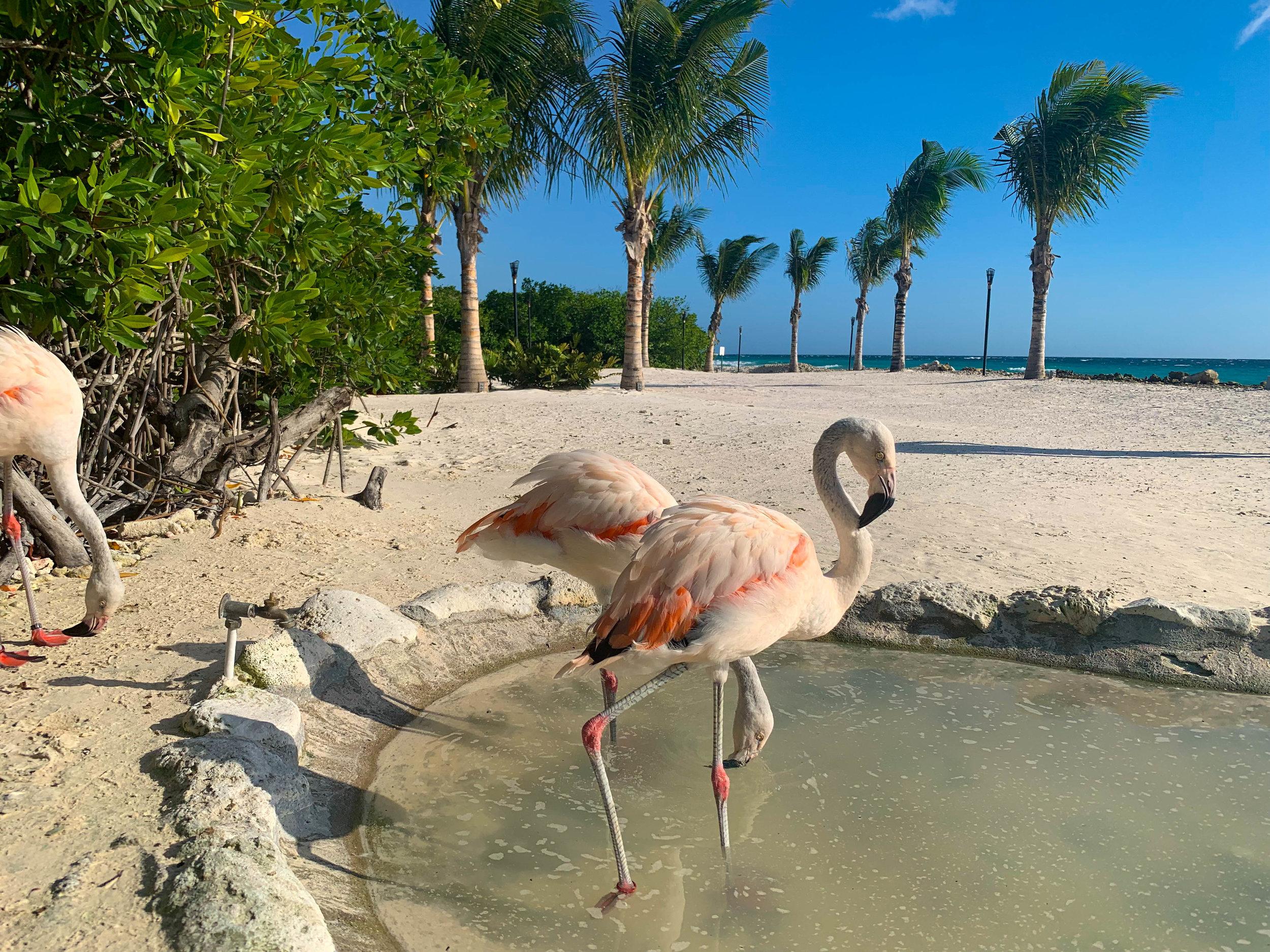 Baby Flamingos in Aruba