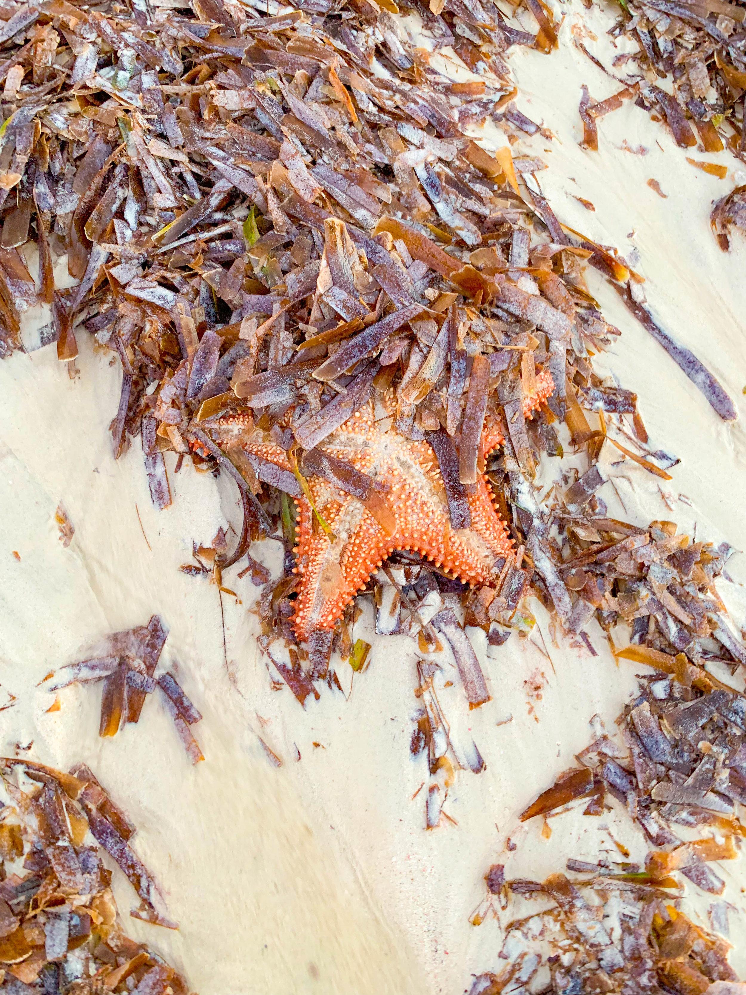 Aruba Starfish