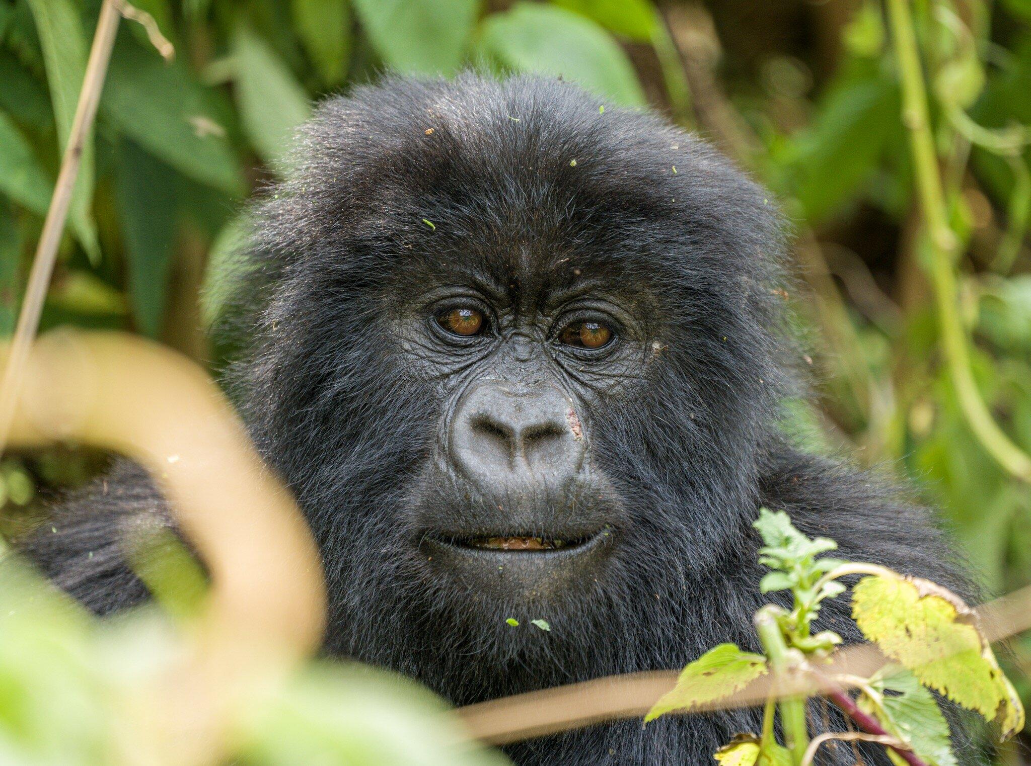 Gorilla_Trekking_Rwanda_Africa.jpg