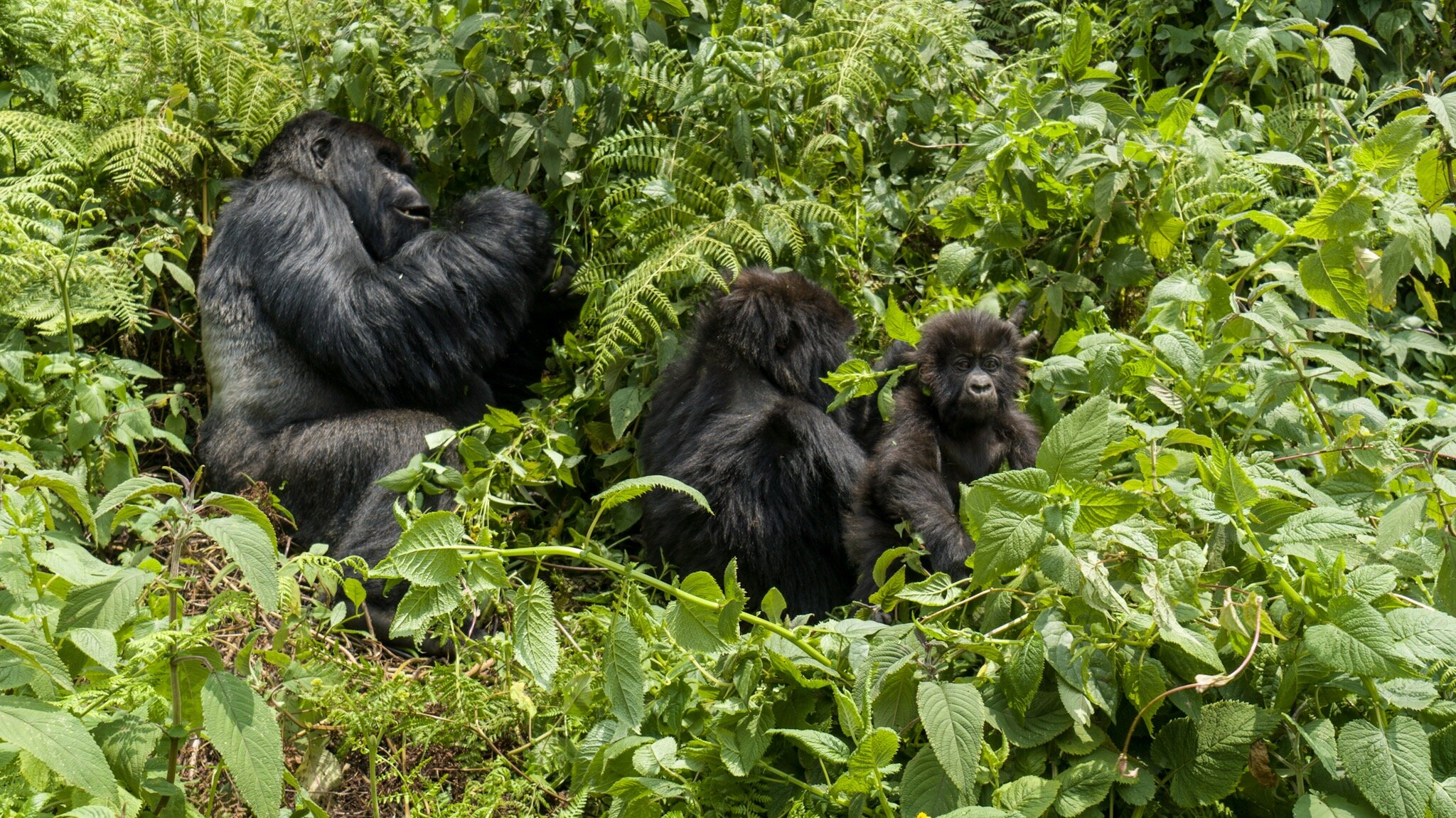 Gorilla family with 3 month old baby gorilla