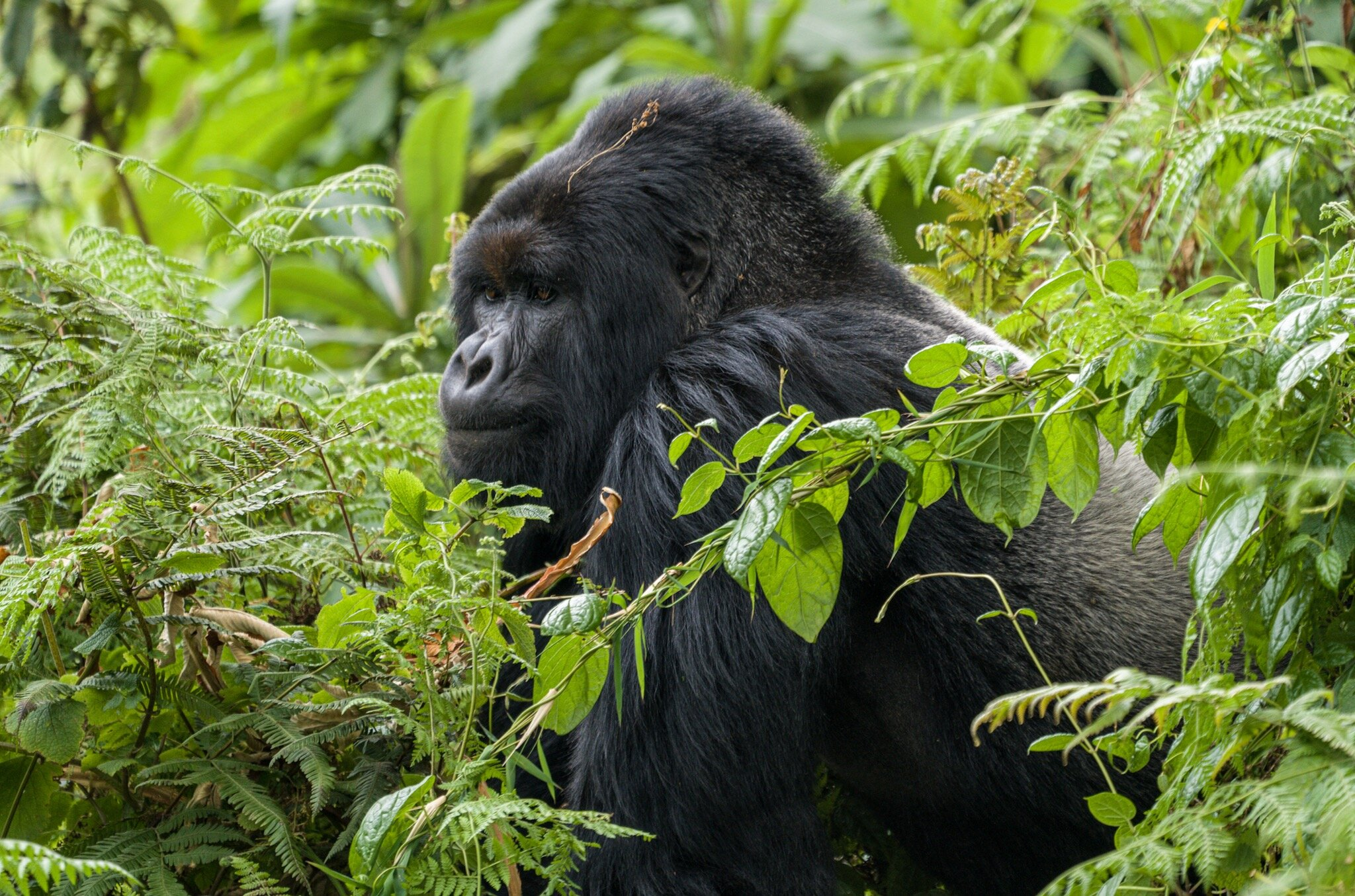 Gorilla_Trekking_Rwanda_Virunga.jpg