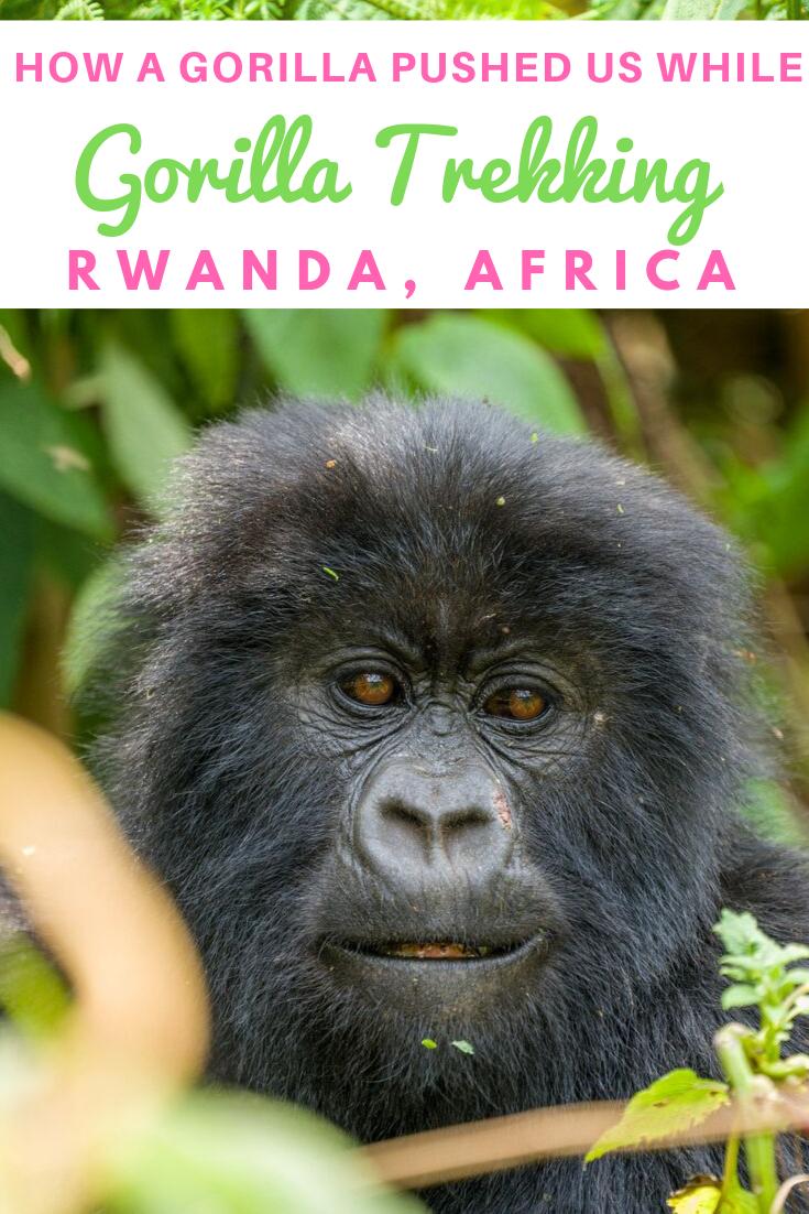 A Gorilla Pushed us while Gorilla Trekking in Rwanda-Africa.png