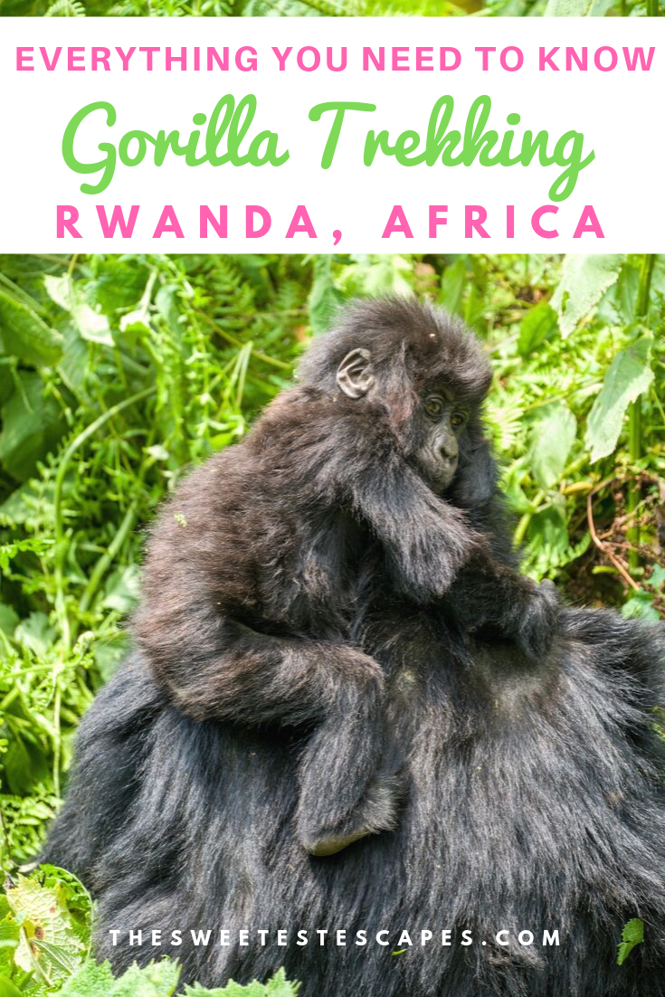 Everything you need to know Gorilla Trekking in Rwanda-Africa.png