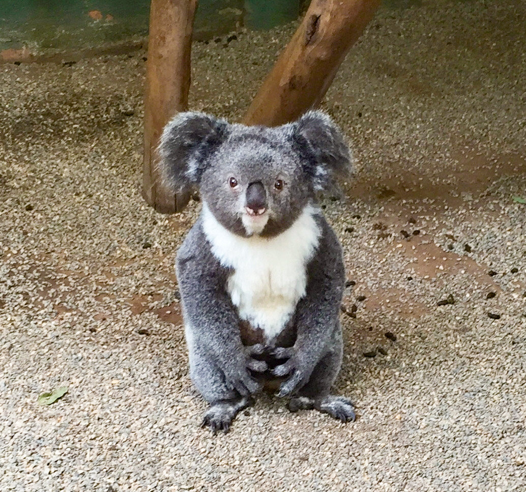 ARCHER, THE KOALA, at Featherdale Wildlife Park