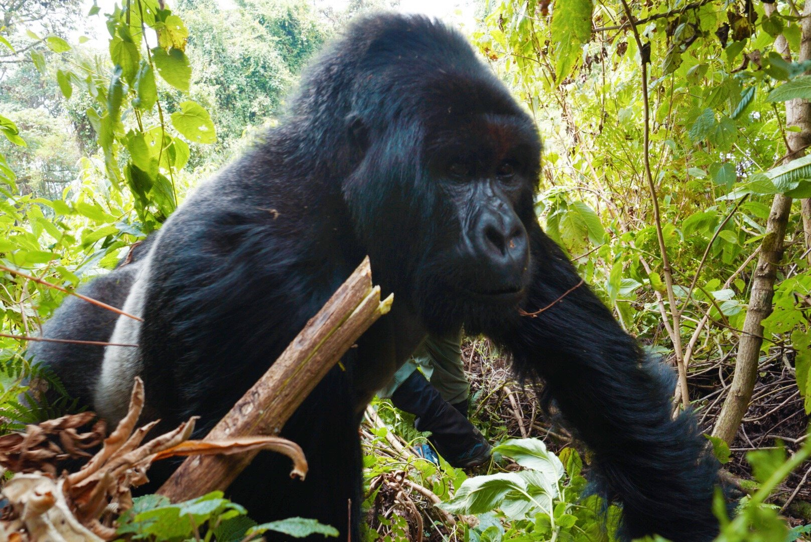Read all about our Gorilla Trek when we tracked gorillas up close and personal by clicking the photo above!