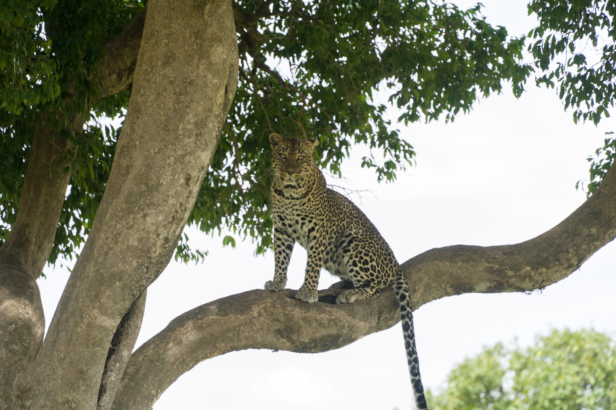 We found a leopard in the tree