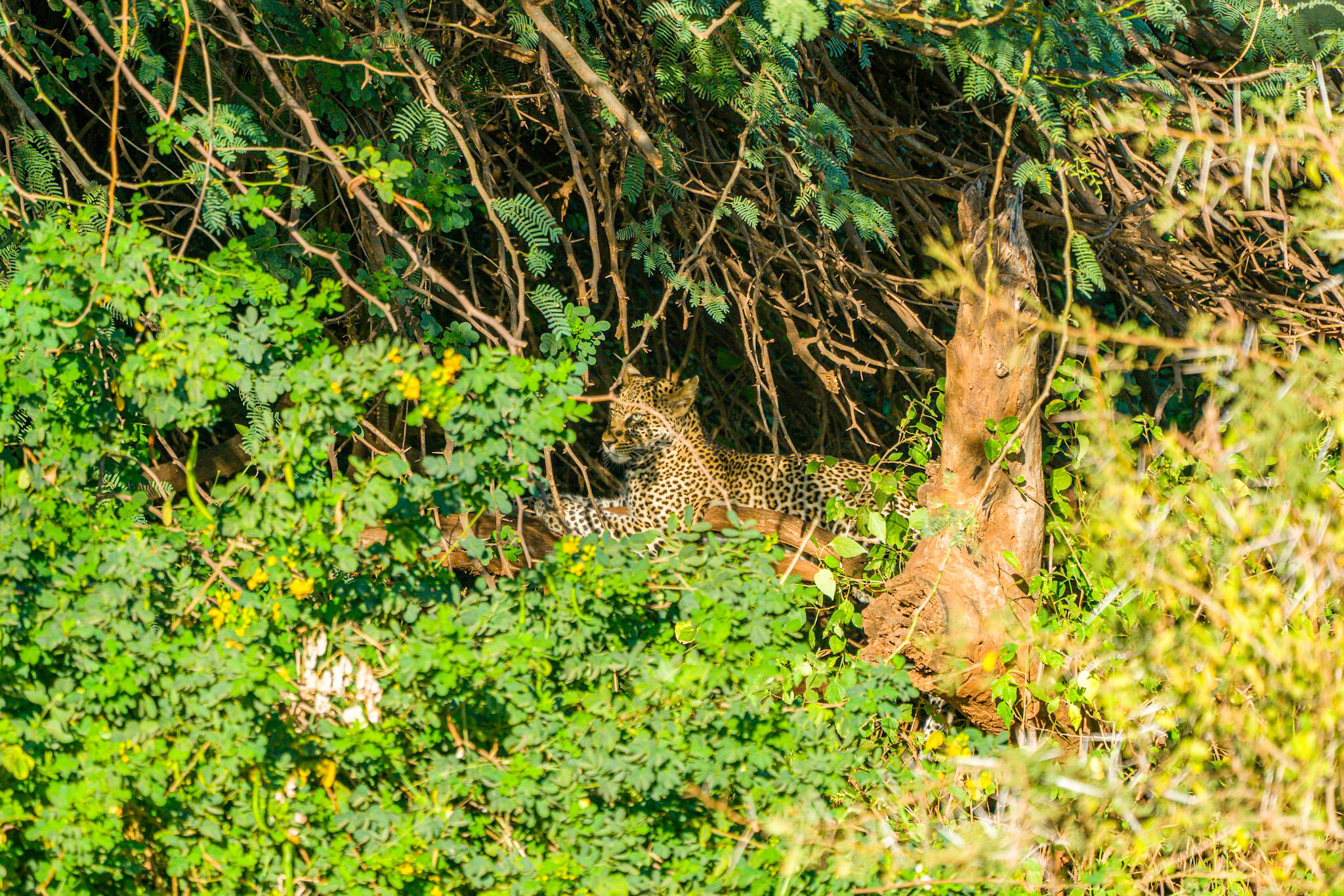 Can you spot the leopard? pun intended