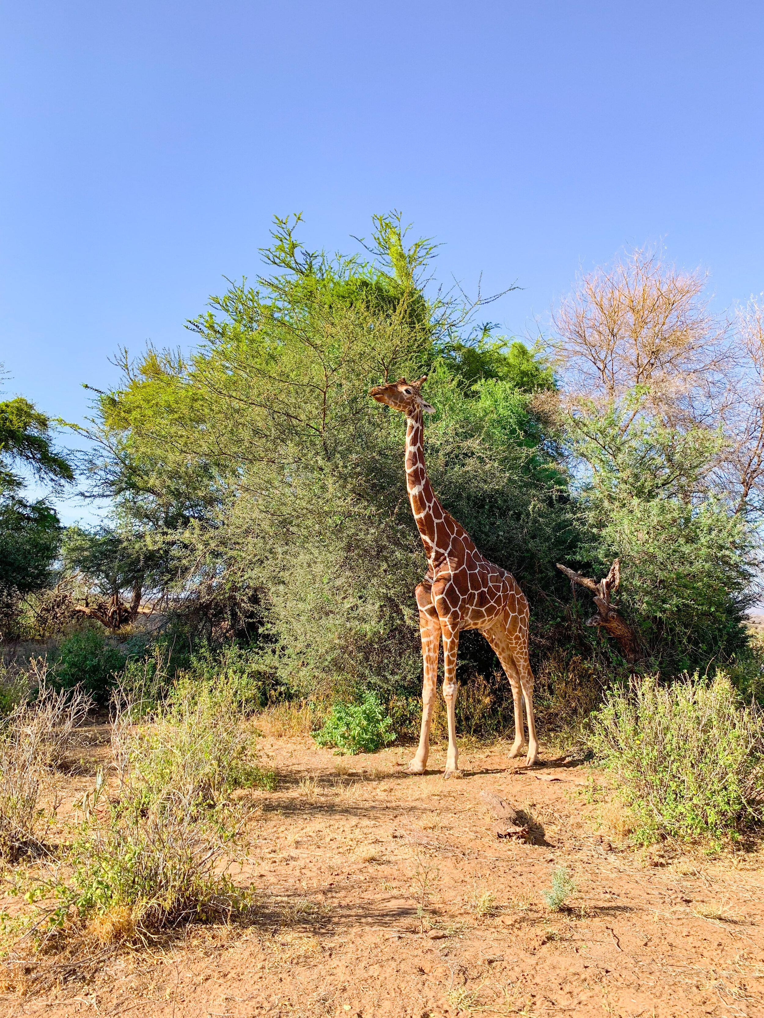 Reticulated Giraffe having Breakfast