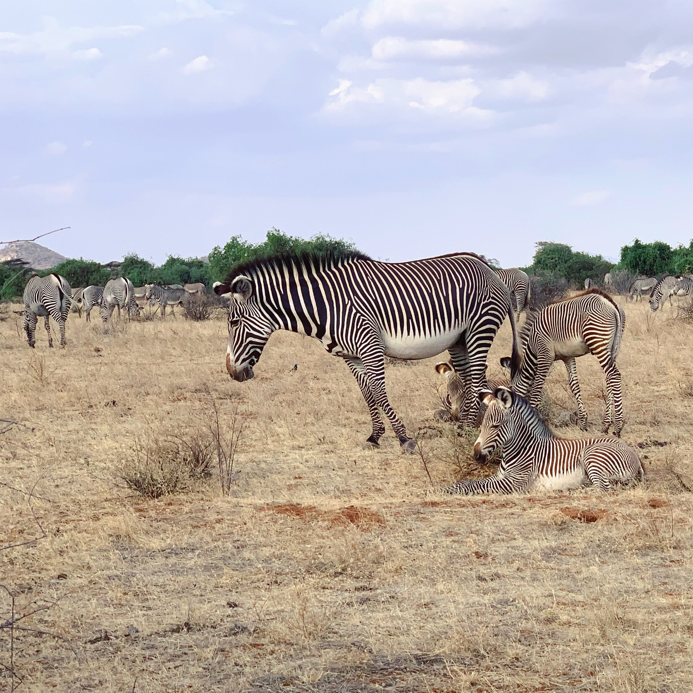 Family of Grevy's Zebras