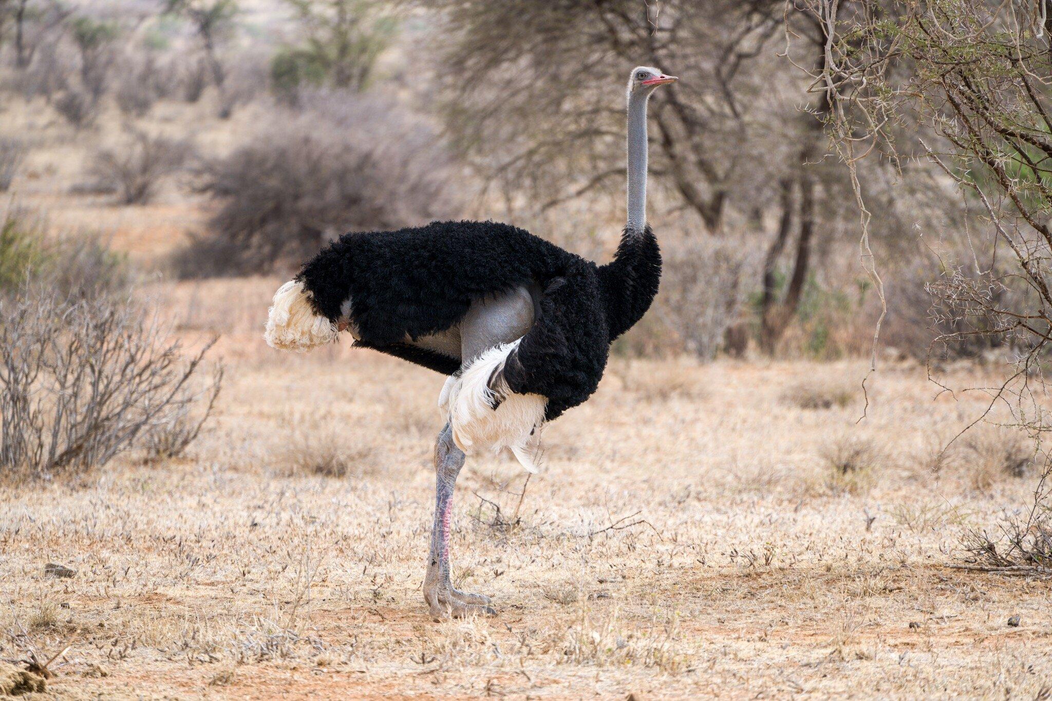 Somali_Ostrich_Northern_Five_Kenya.jpg