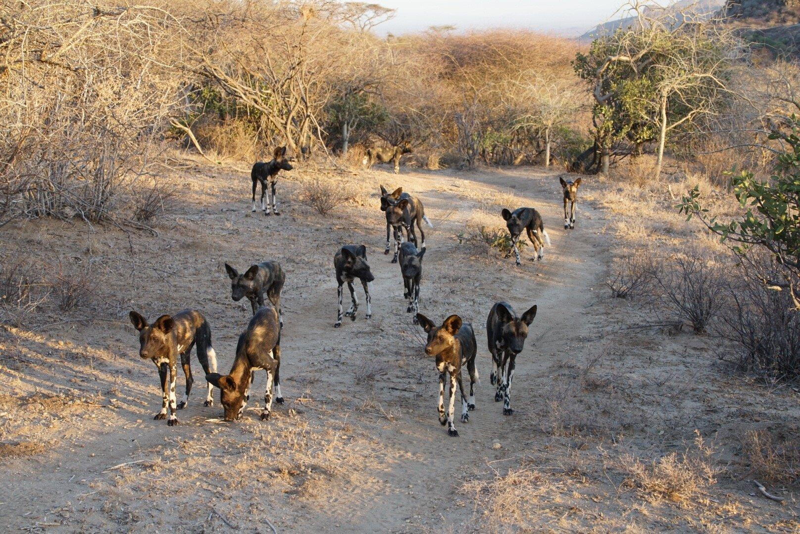 Wild Dogs - Rare sight!