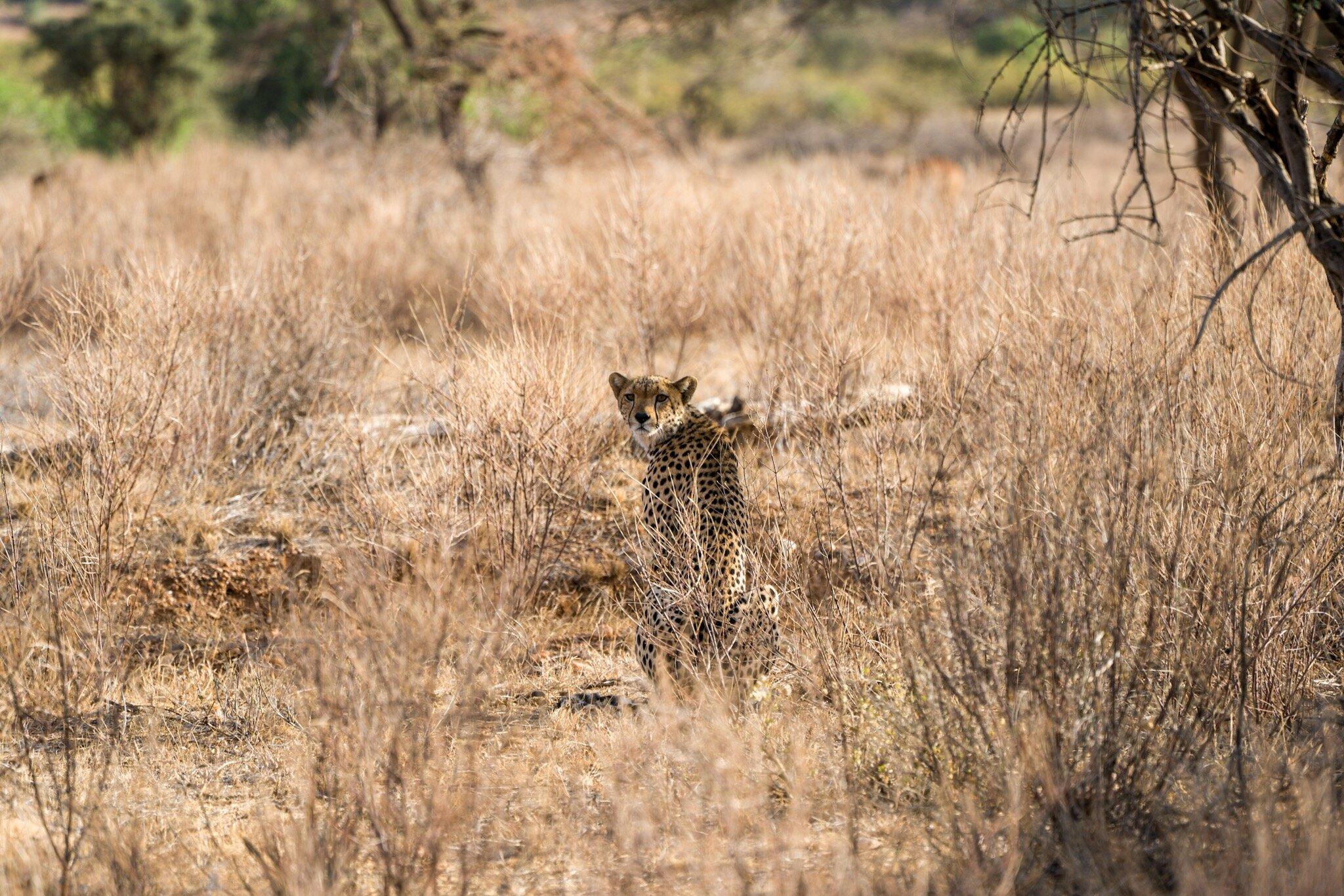 Cheetah stalking antelope