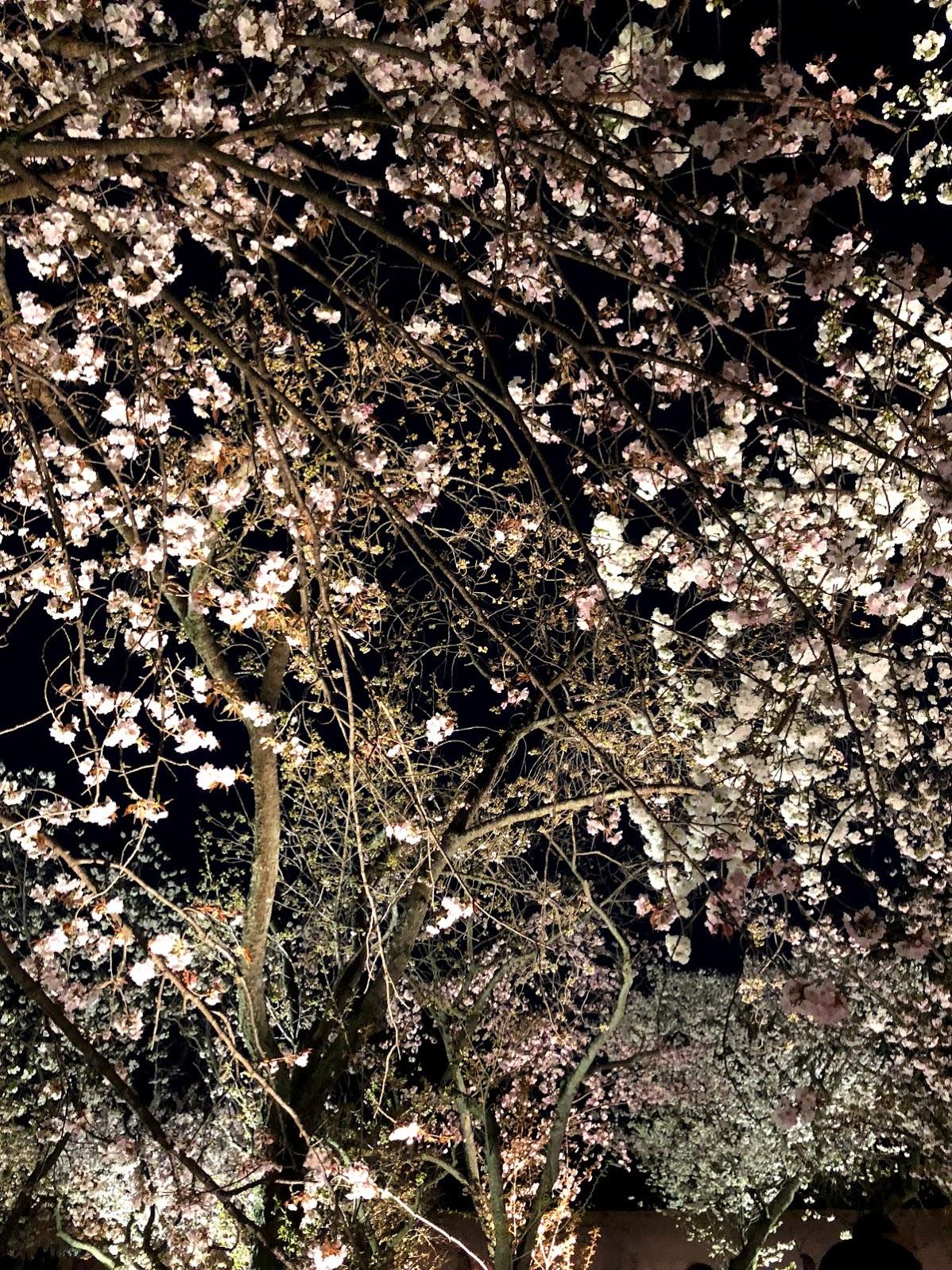 Luces regulares alumbran a las flores  sakuras  de noche.