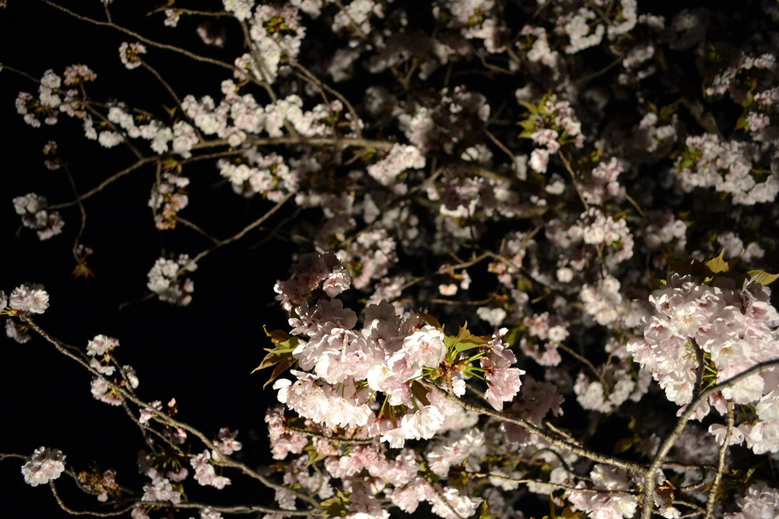 Una foto enfocada en los flores  sakuras.