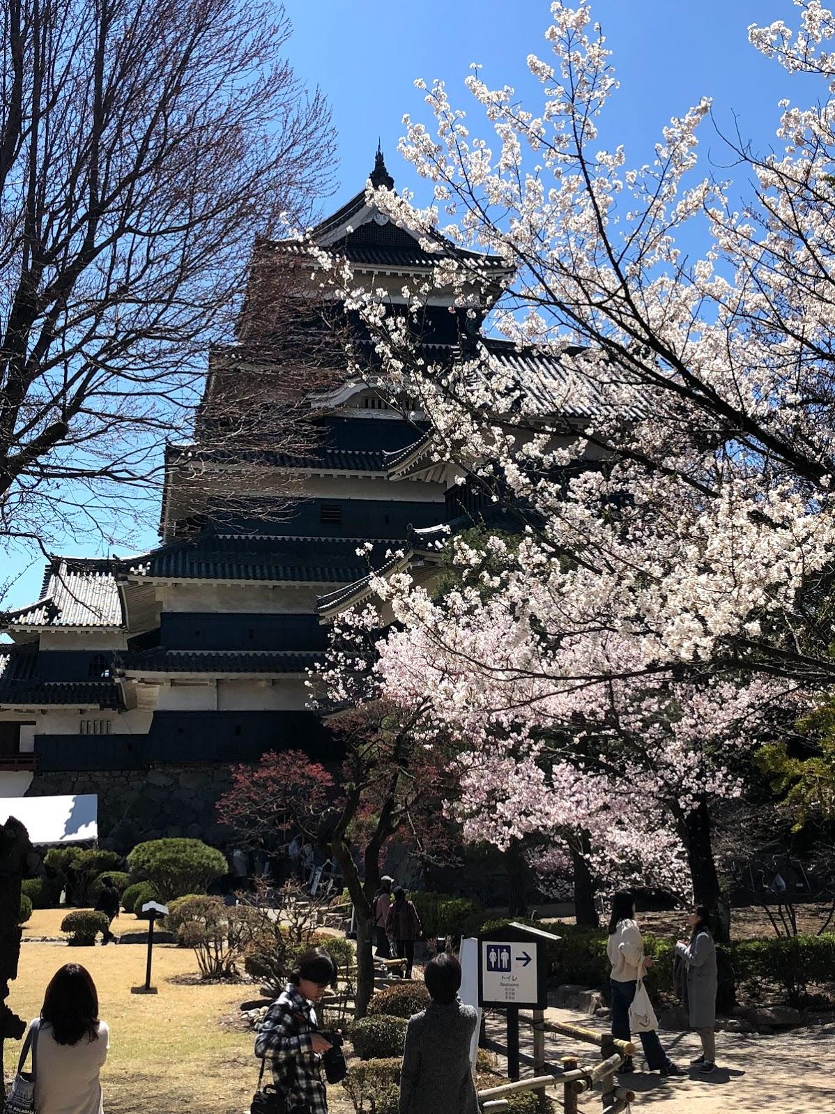 El Castillo Matsumoto detras de muchas flores de  sakura.