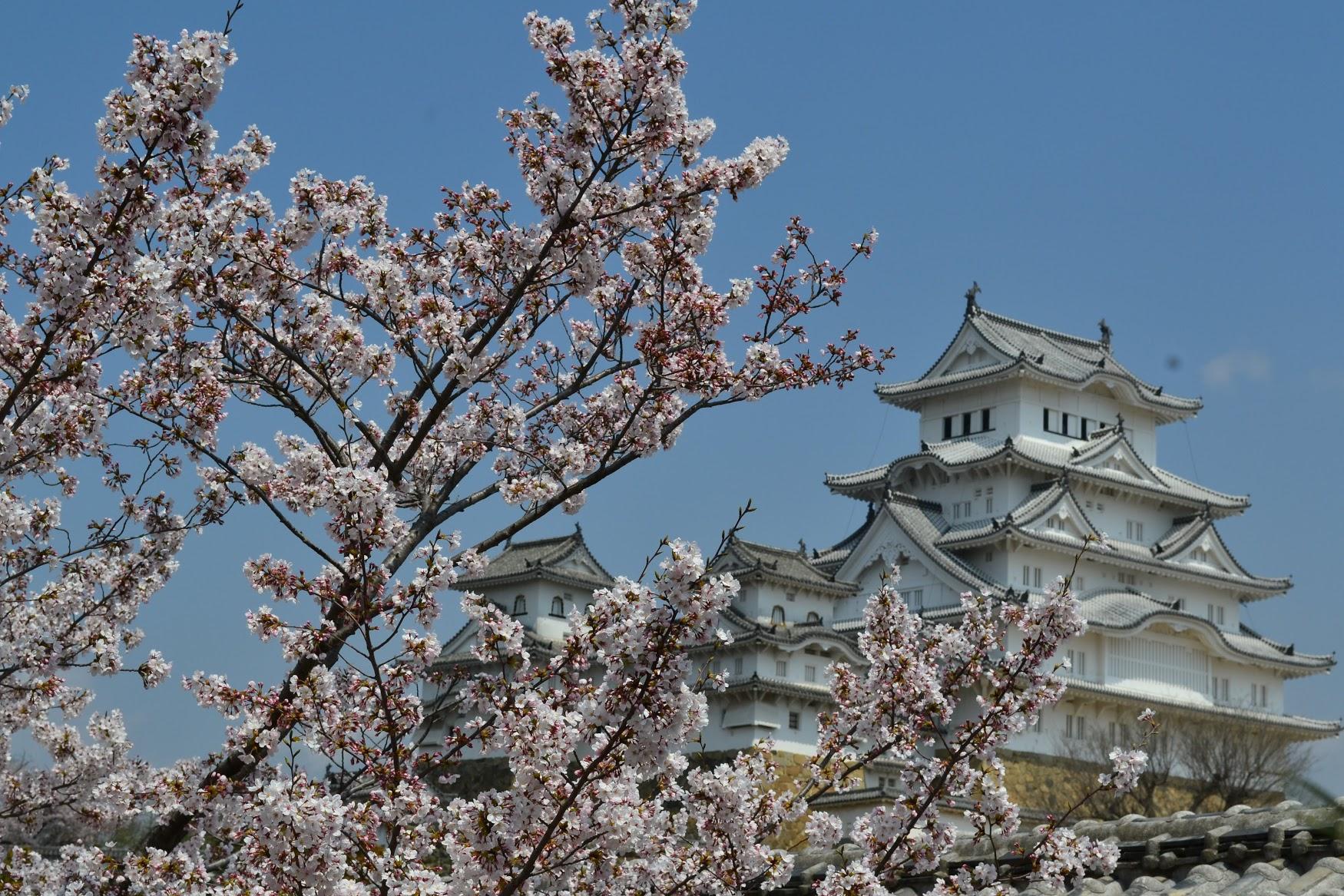 Alrededor del castillo habían parques llenos de arboles de  sakura , y tome esta foto de las flores y el castillo juntos.