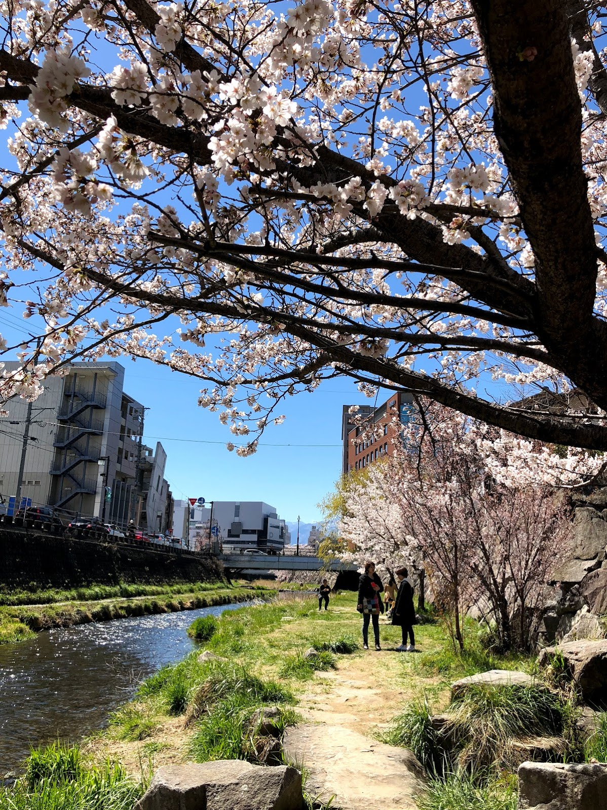Some cherry blossoms trees along the Metoba River!
