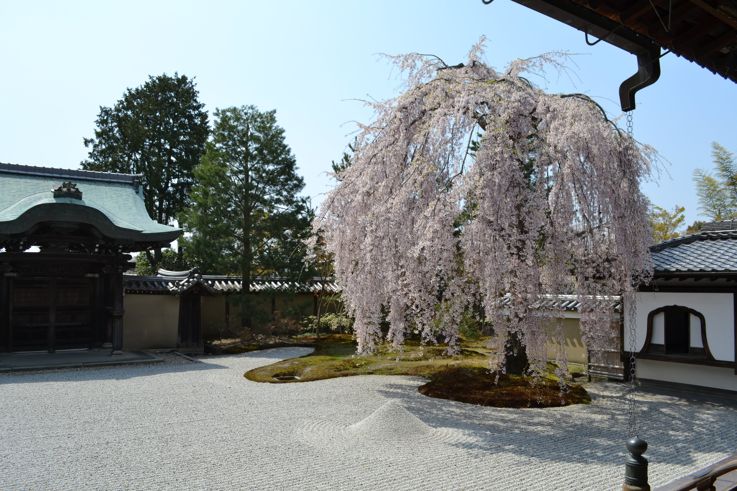Kodaiji is known for its  shidarezakura  tree, which means weeping cherry blossom tree. These weeping trees are less common to find, so there was a line to take a picture of this tree up close. Located within a zen garden, this tree was a beauty to capture on film.