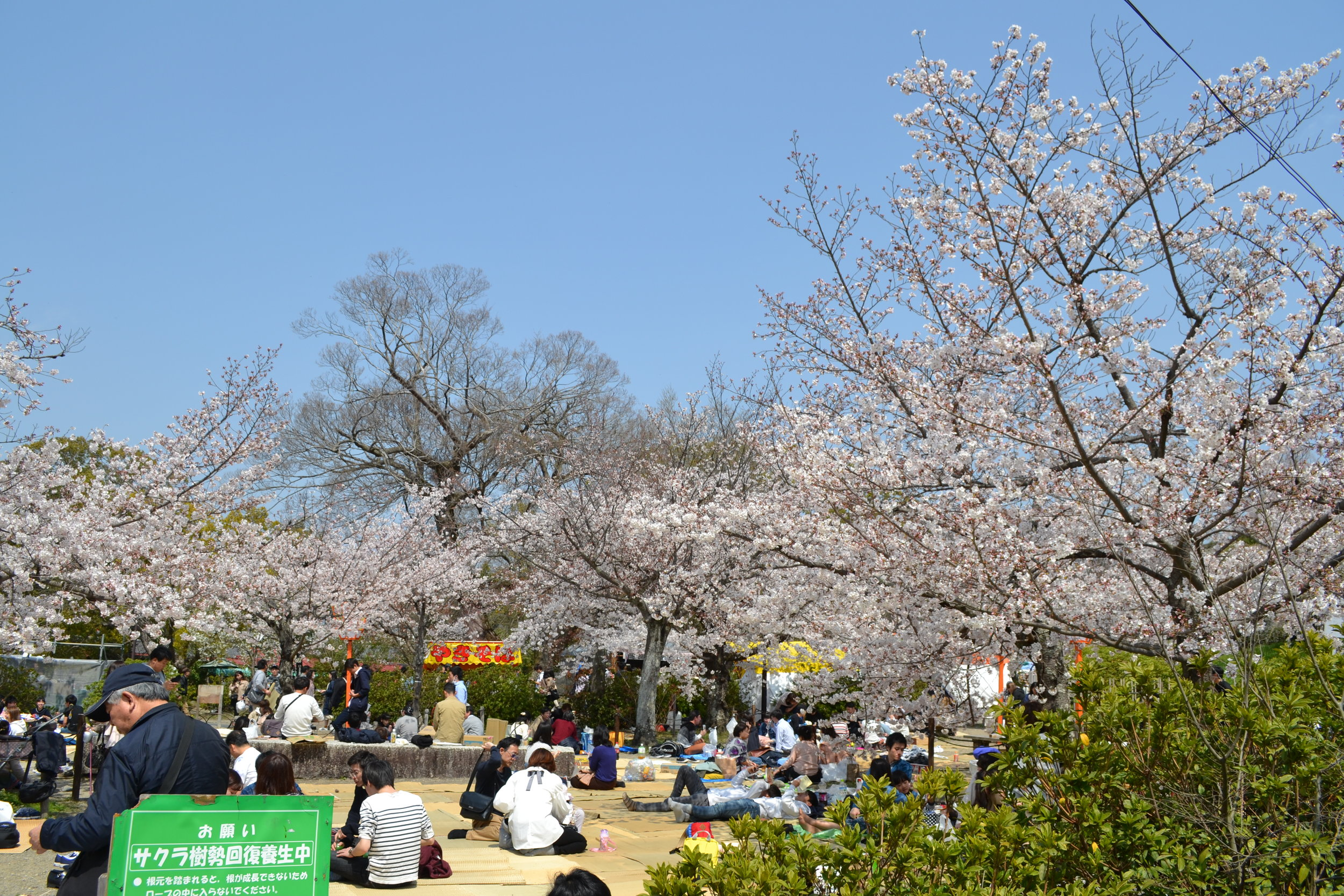 A popular activity to do during the cherry blossom season,  hanami : many picnics going on under the cherry blossom trees with food you can get beforehand or at the plentiful food stalls near the picnic areas.