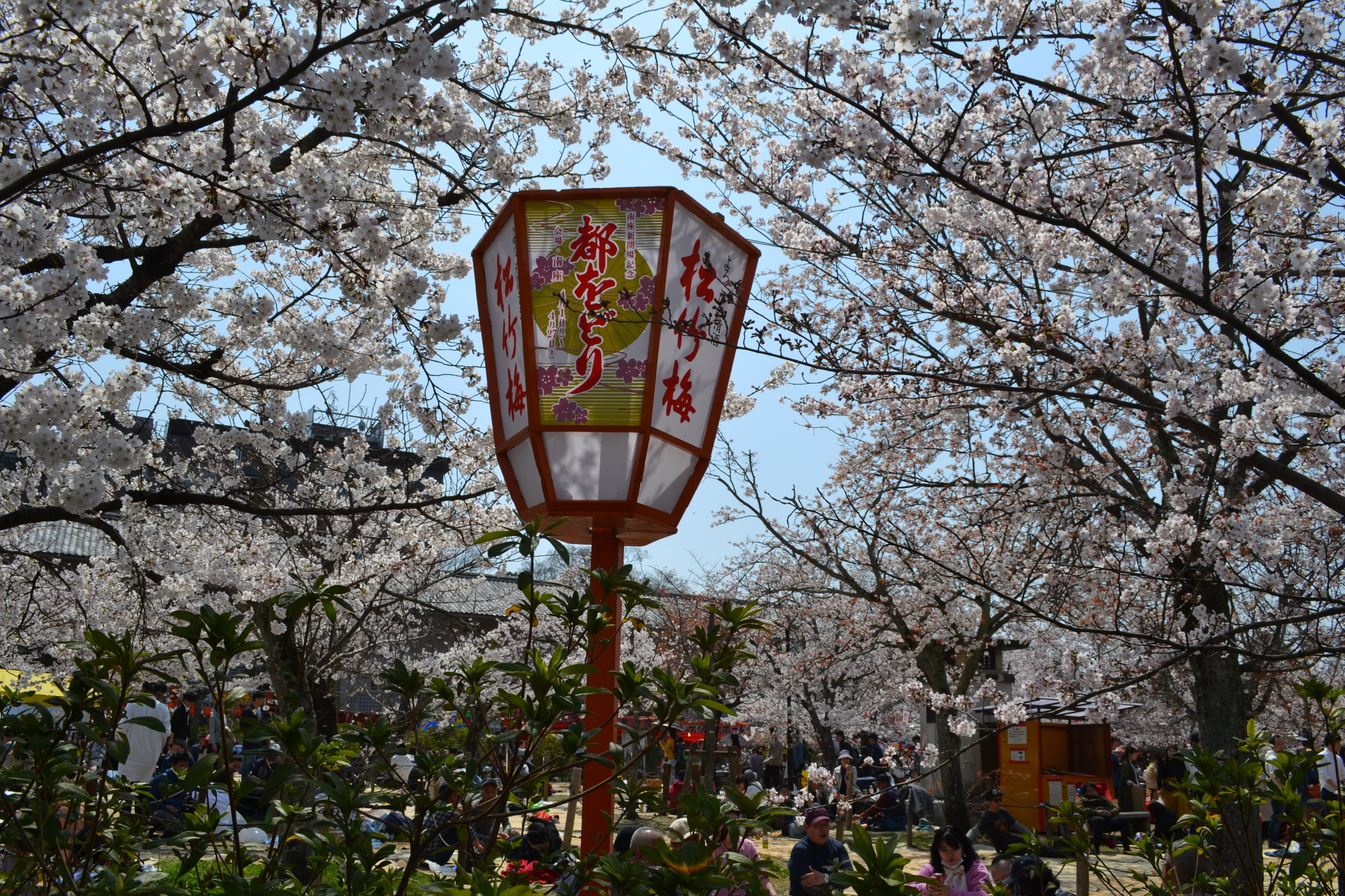 A festival lantern with cherry blossoms and hanami-enjoyers in the background.
