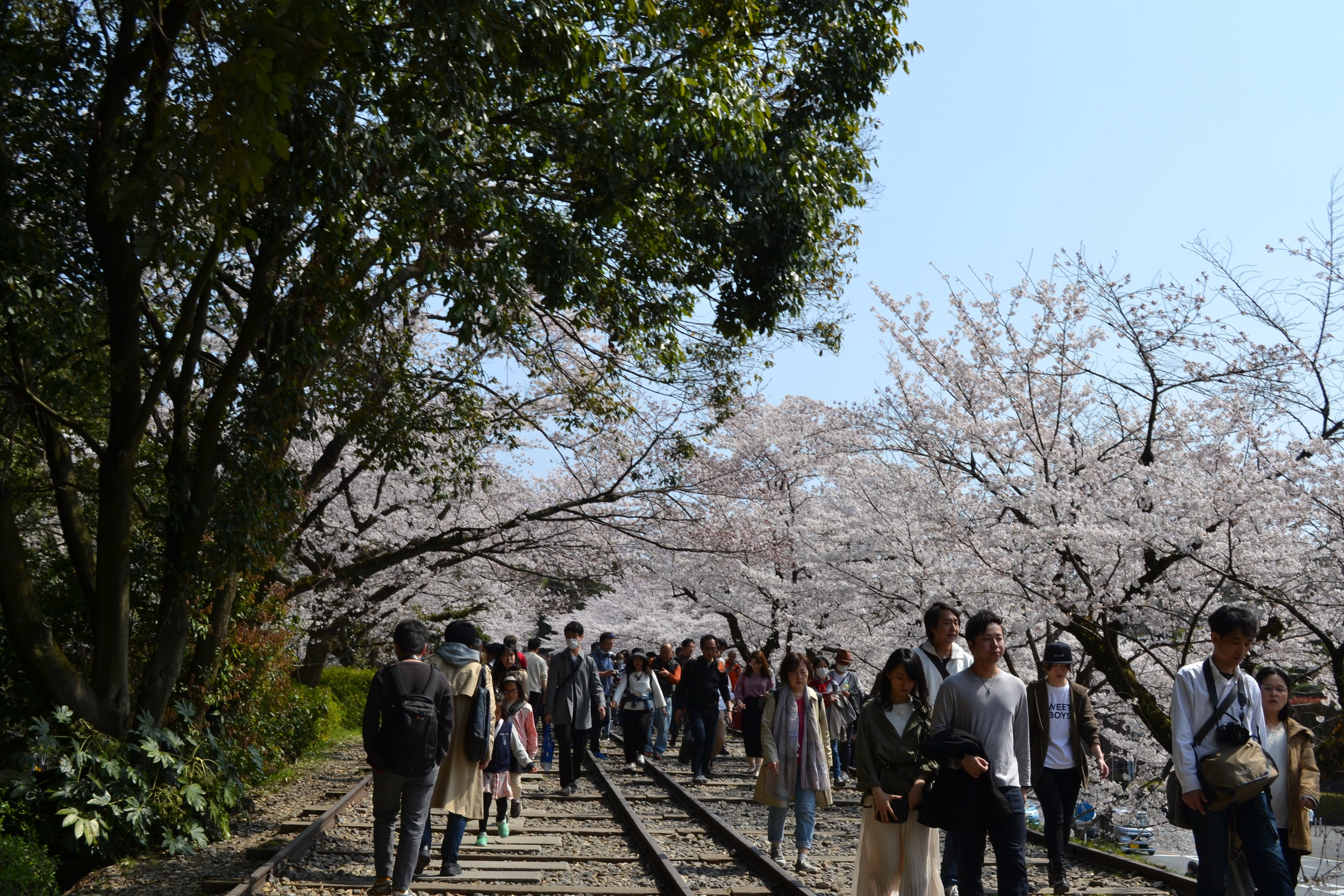 The beginning of the tracks leading up on an incline, with many cherry blossom trees in the distance.