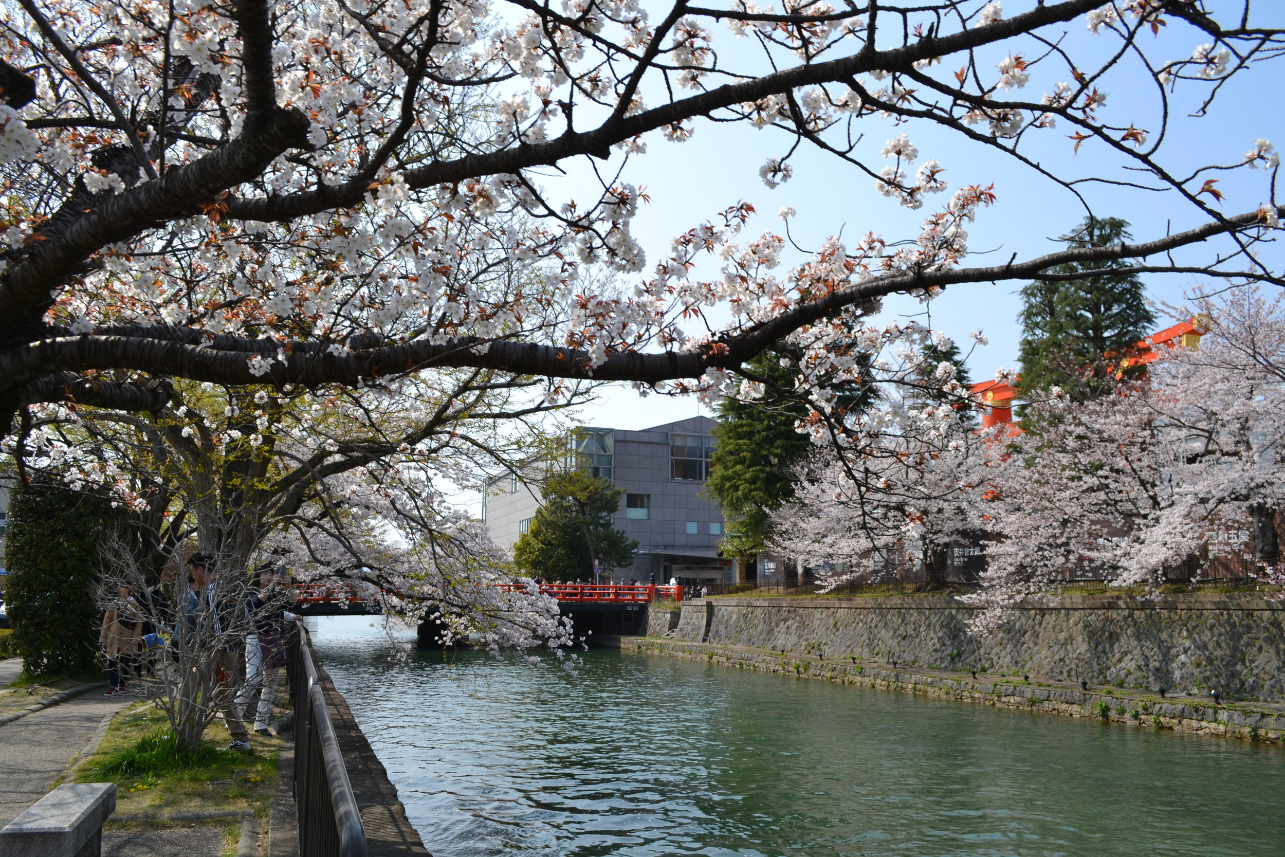 The closer you get to Heian Shrine, the more likely you can see the red  tori . I liked being able to see the gate with a view of the blue canal water and cherry blossoms.