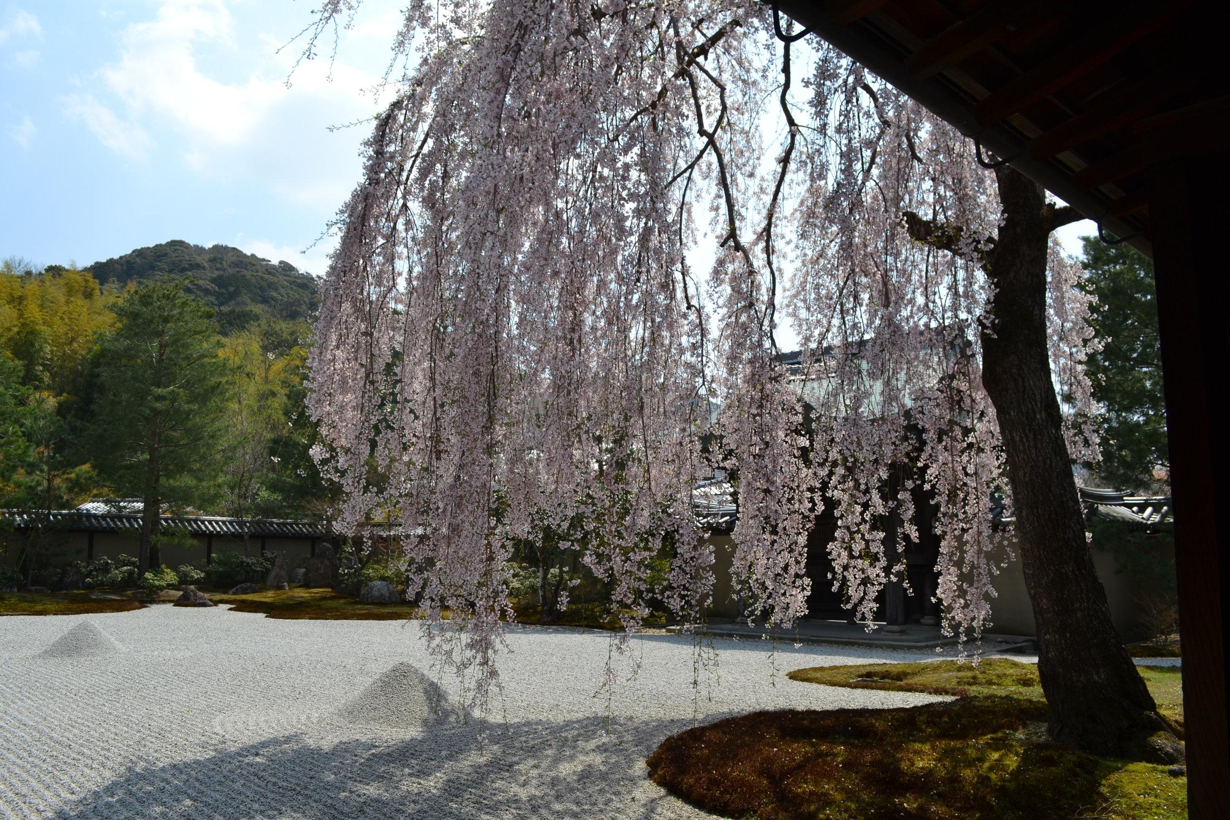 Este árbol es parte de un jardín zen en el templo de Kodaiji. Es una vista muy tranquilo.