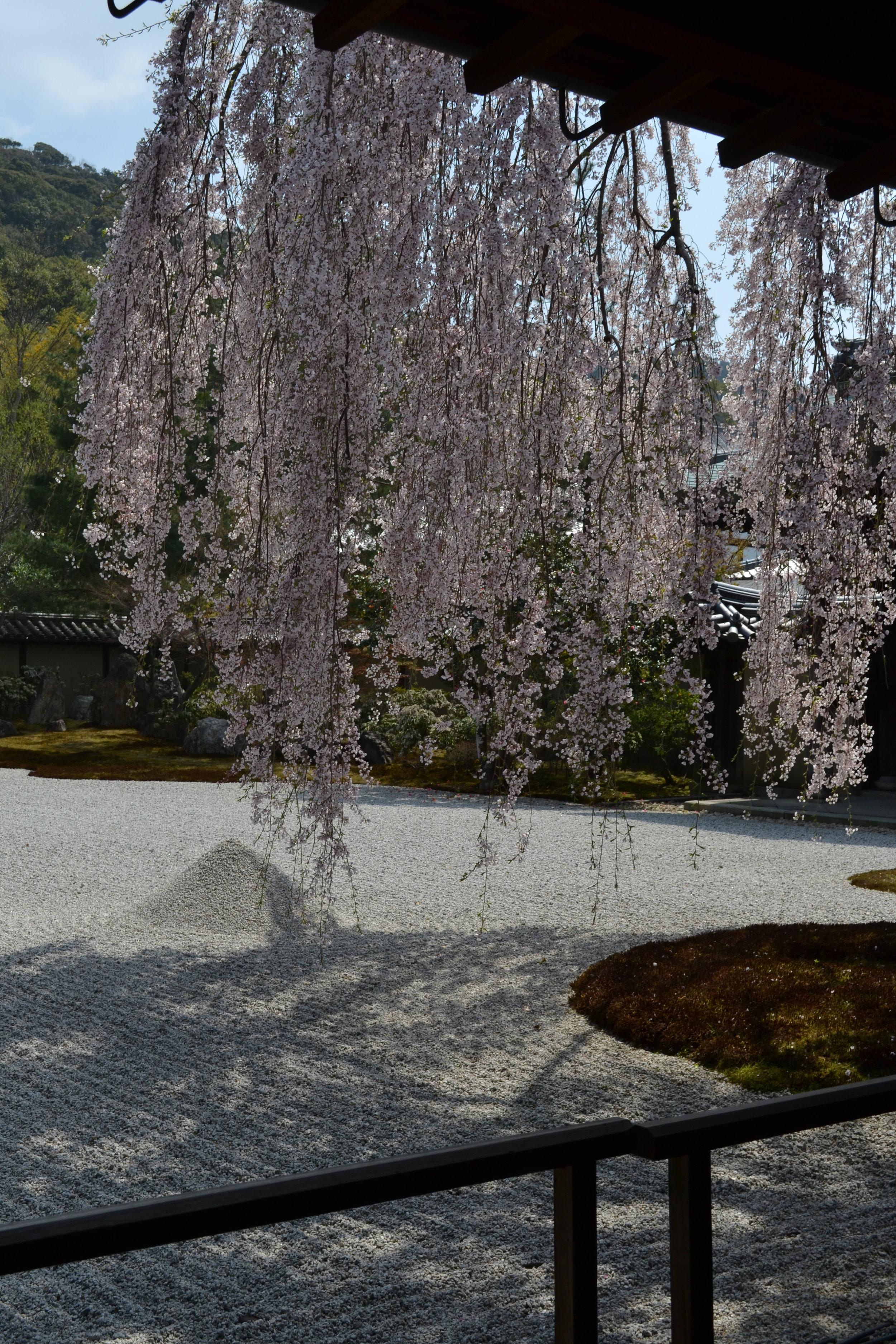 Una mirada más cerca del árbol shidarezakura.