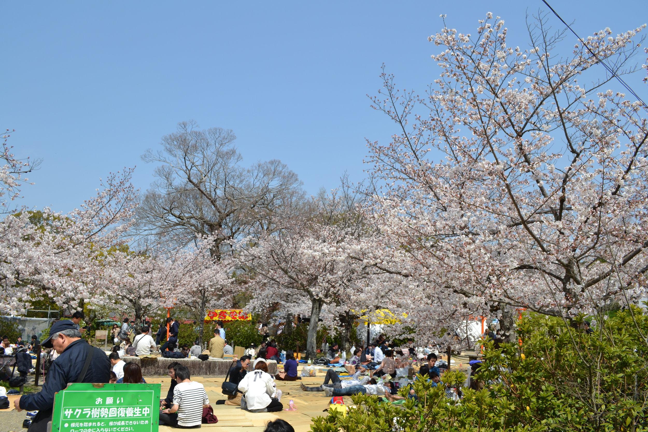 """Debajo de los árboles de sakura hay los picnics que se llama  hanami.  La traducción literal de  hanami  es """"mirar a las flores,"""" entonces en los parques de sakura hay puestos para comer una comidita con tus amigos para ver a las flores sakuras."""