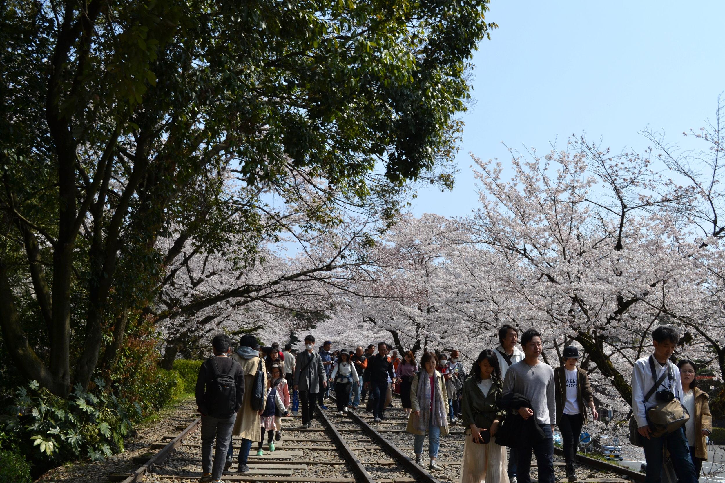Caminando por el comienzo de las vías del ferrocarril se puede ver cuantos árboles de sakura hay en la distancia.