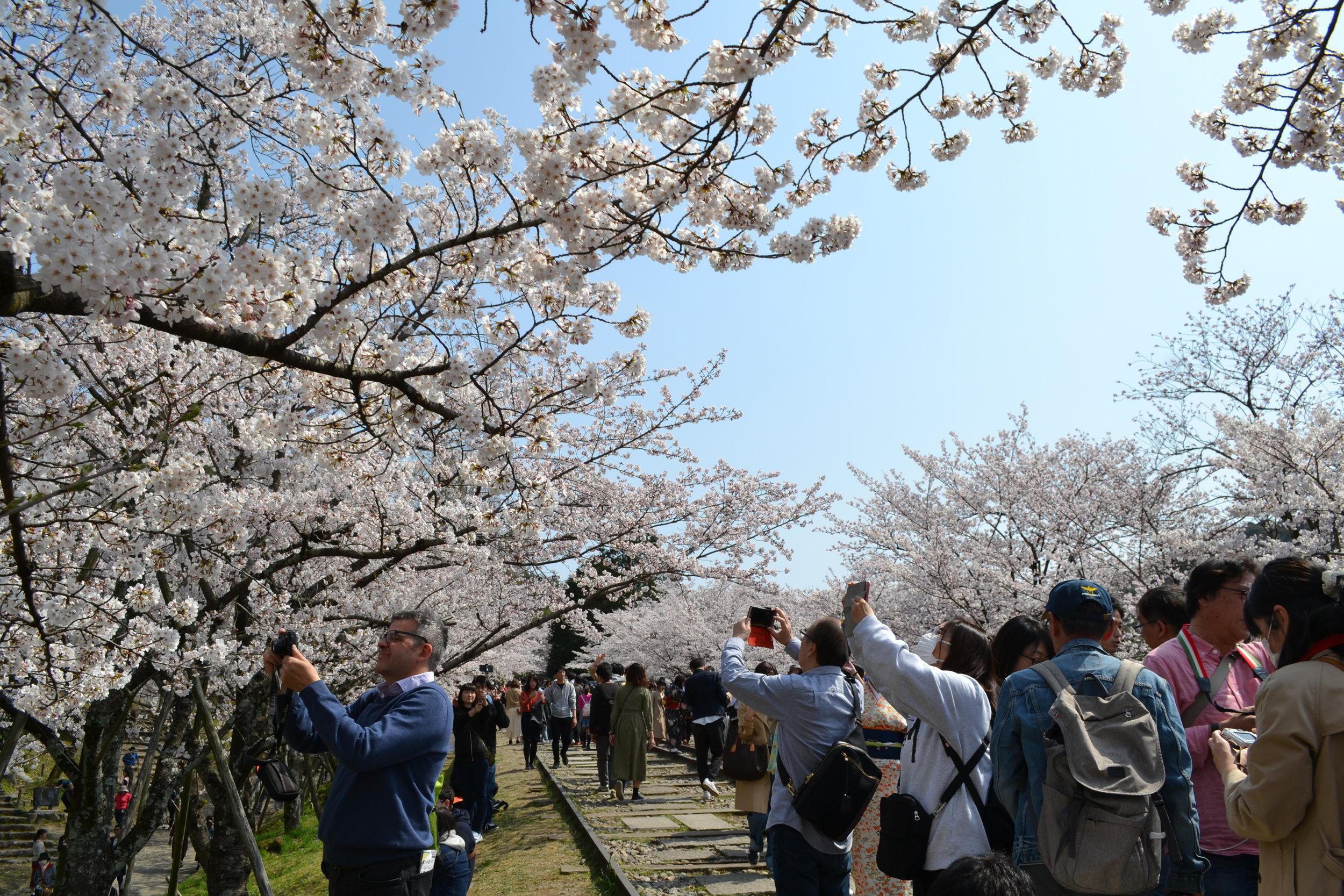 No pude tomar foto con de las flores y las vías sin la gente, pero me gusta que se puede ver que tan popular es la Inclinación de Keage. Habían turistas y gente Japonesa también, todos experimentando una belleza fugaz.