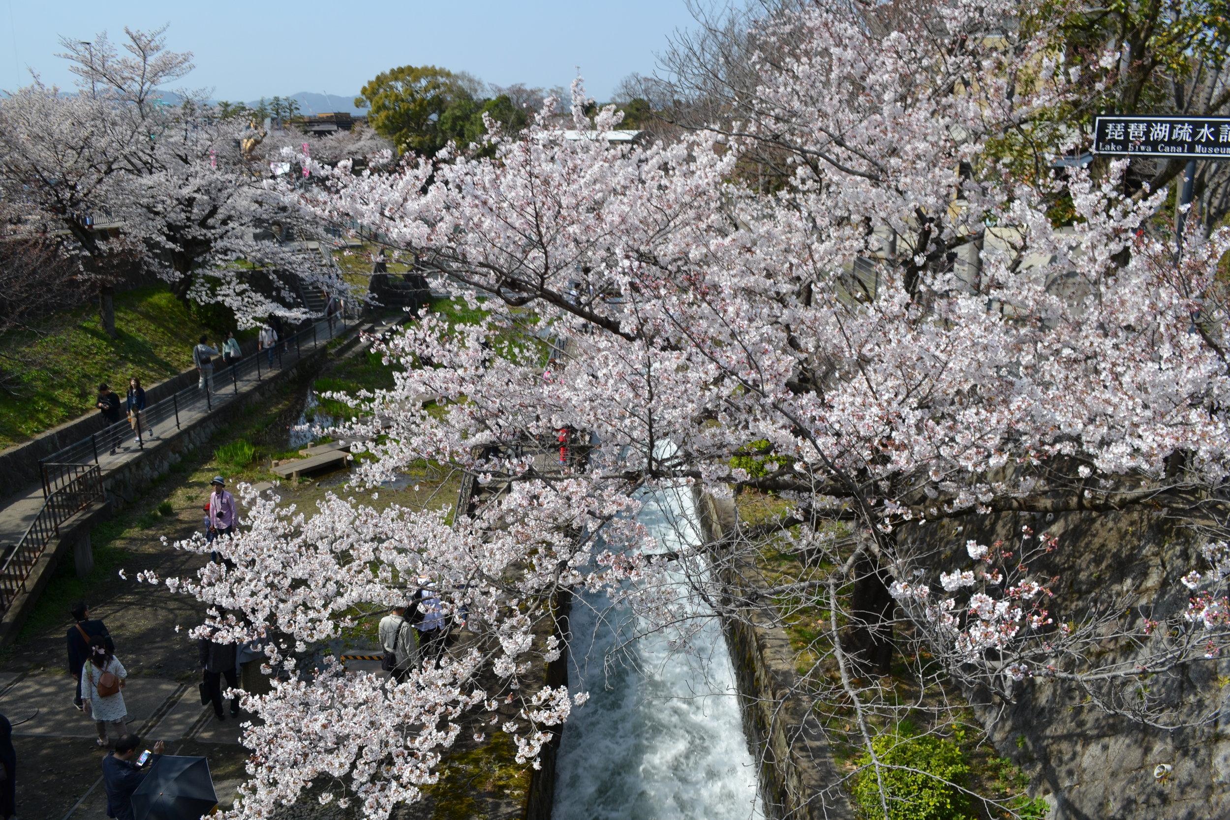 Me gusto esta vista de las flores de sakura porque esta este momento solo les he visto por debajo, ahora les podías ver de arriba. Era una perspectiva nueva y se podía bajar las escaleras para caminar por debajo de los árboles pero decidí seguir mi camino hacía el último lugar en mi lista de puestos de sakura para visitar.